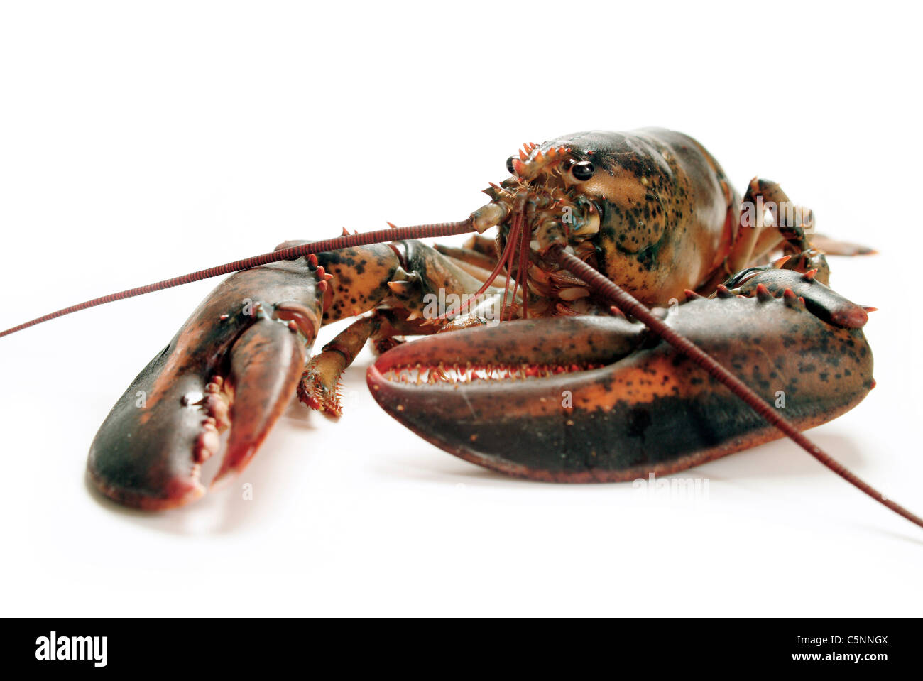 Le homard canadien, vivant Photo Stock