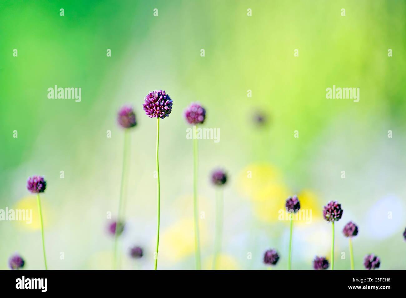 Fleurs violettes sur terrain Photo Stock