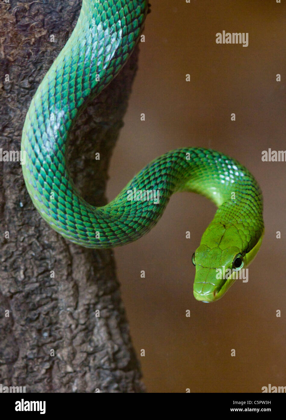 Queue de rat rouge vert serpent (gonyosoma oxycephalum) Photo Stock