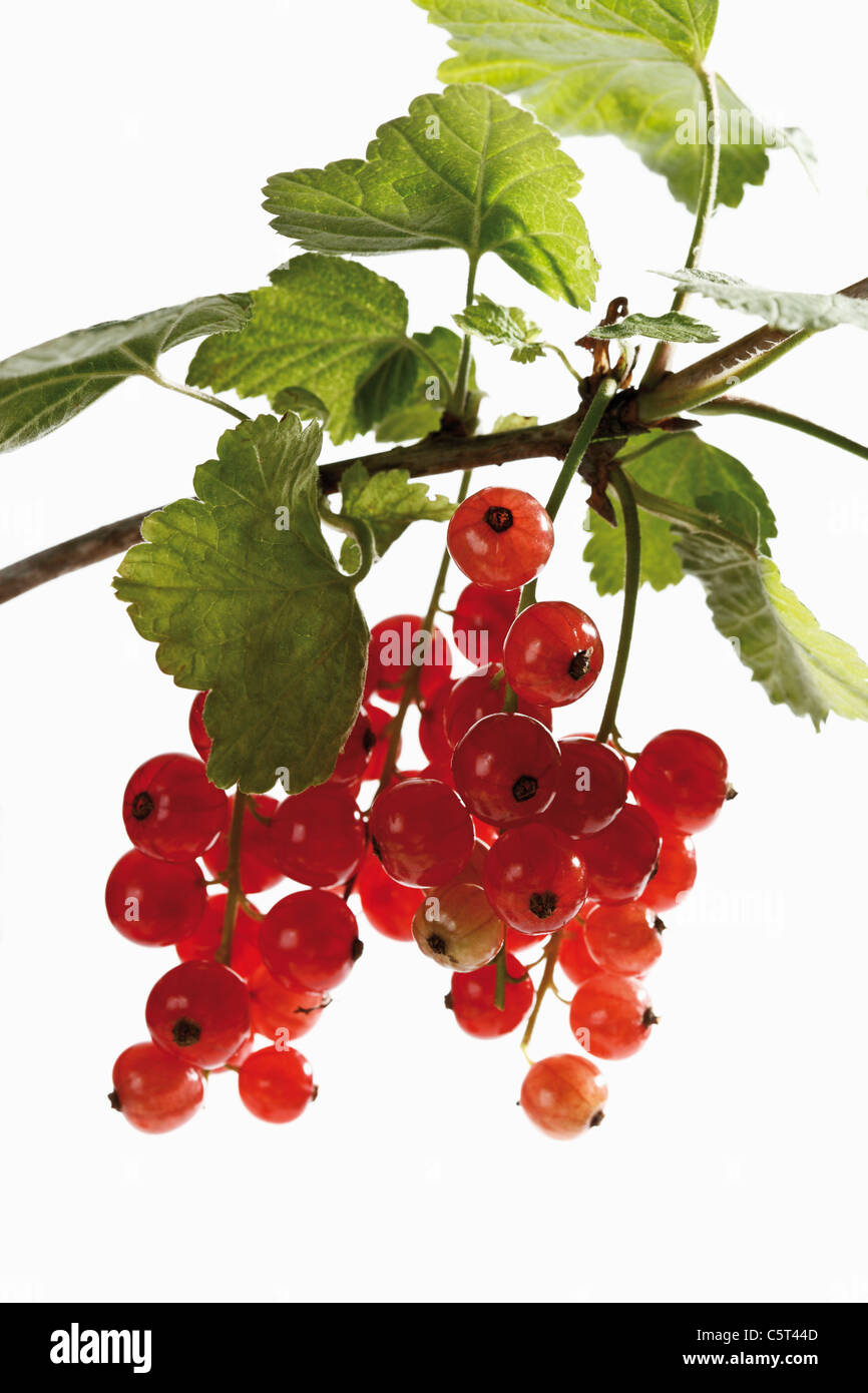 Groseilles rouges (Ribes rubrum) sur une branche, close-up Banque D'Images