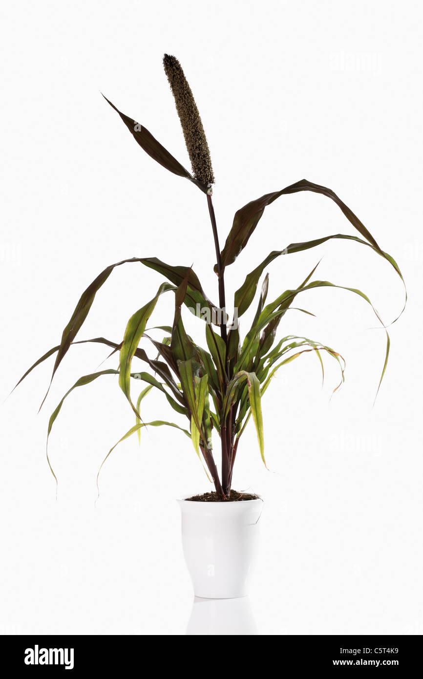 Le Millet perlé (Pennisetum glaucum) en pot de fleurs Photo Stock
