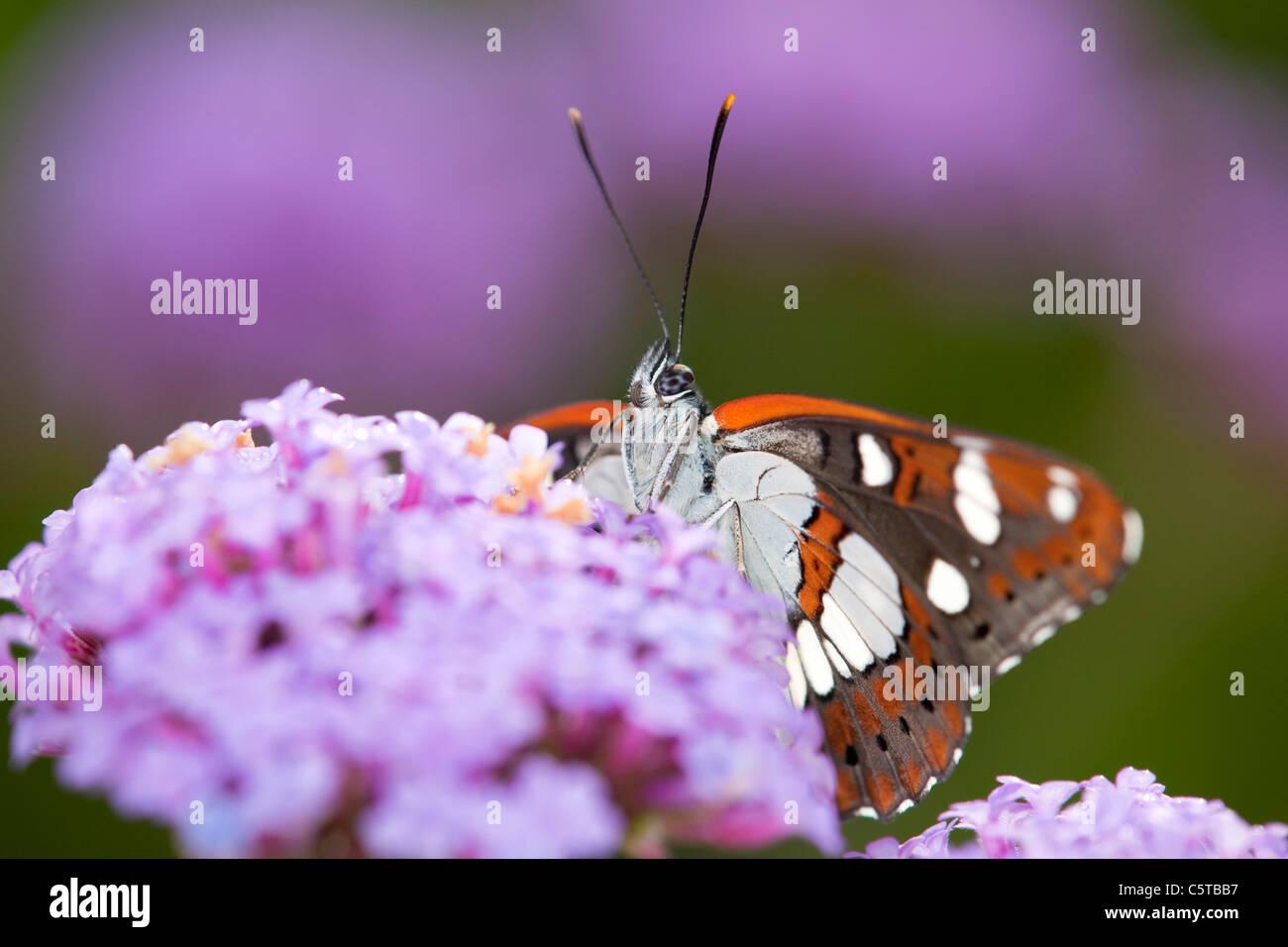 Southern White Admiral Limenitis reducta; Papillon; captive sur la verveine Photo Stock