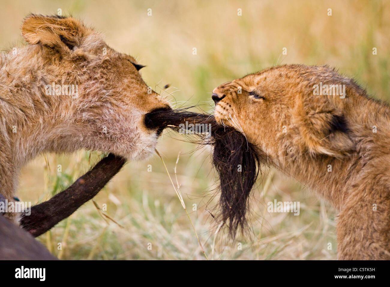 L'Afrique, Botswana, deux oursons lion (Panthera leo) jouant Banque D'Images