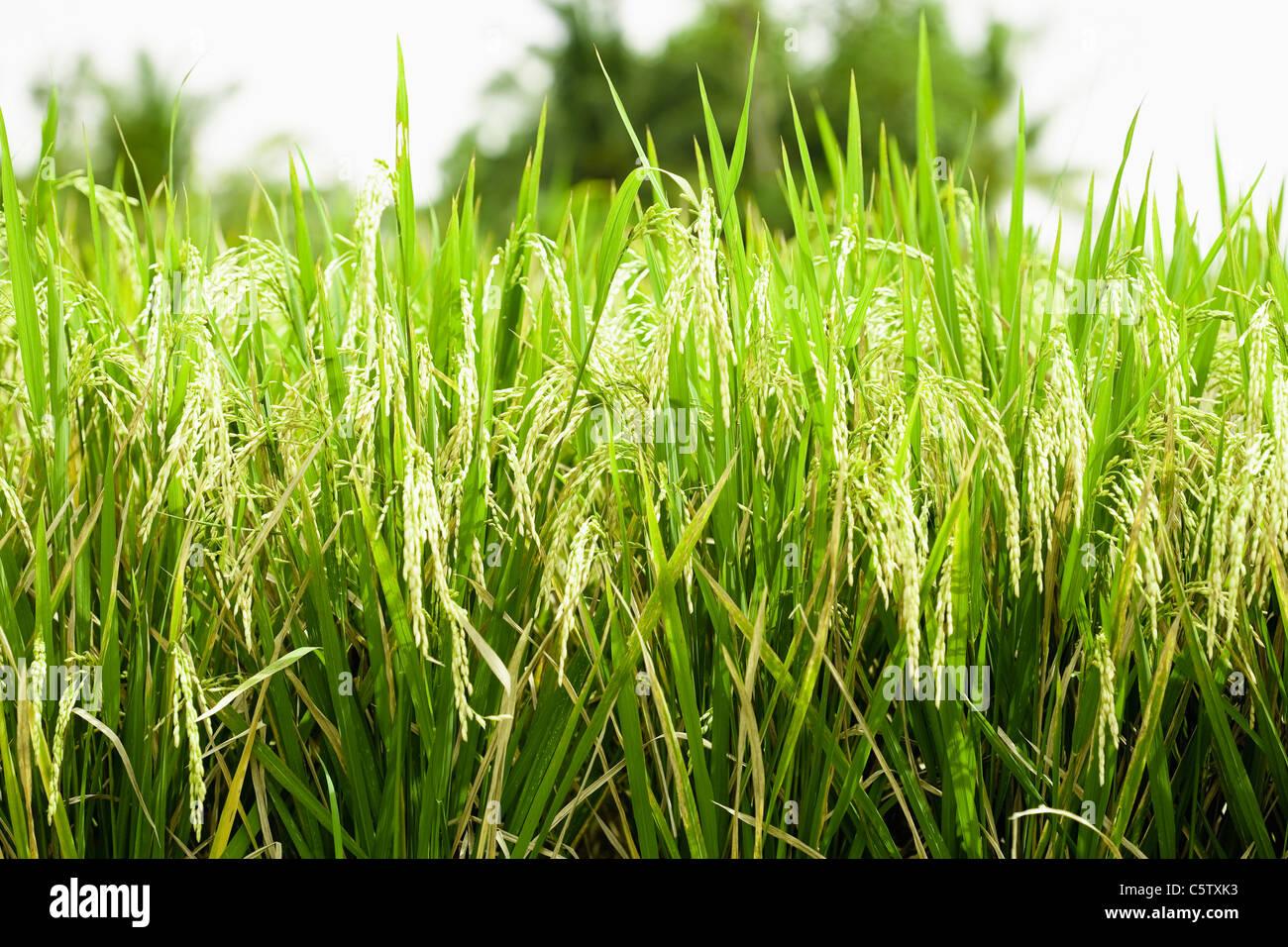 L'Asie, INDONÉSIE, Bali, brins d'herbe, close-up Banque D'Images