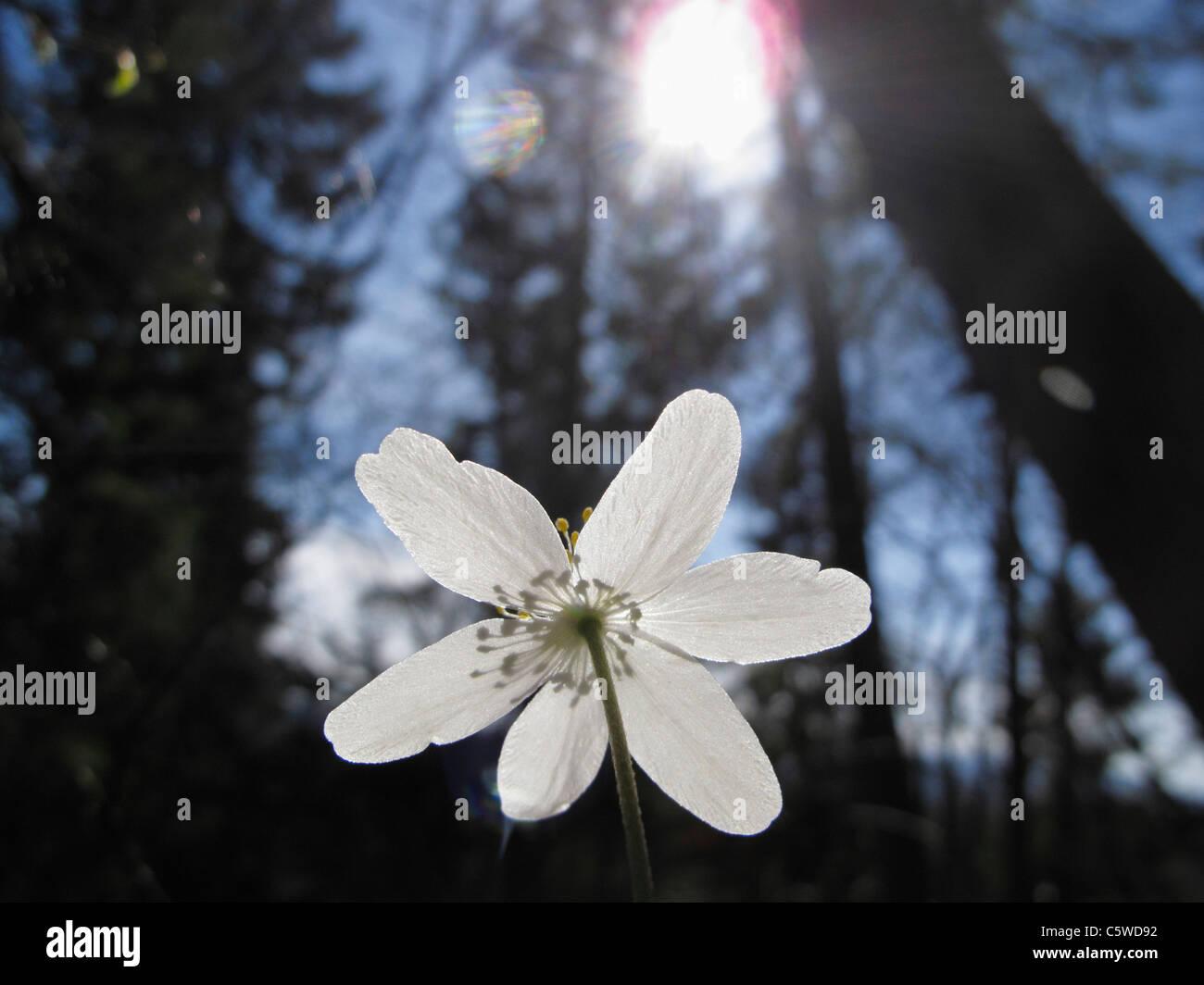 Allemagne, Bavière, Close up of wood anemone fleur avec lens flare Banque D'Images