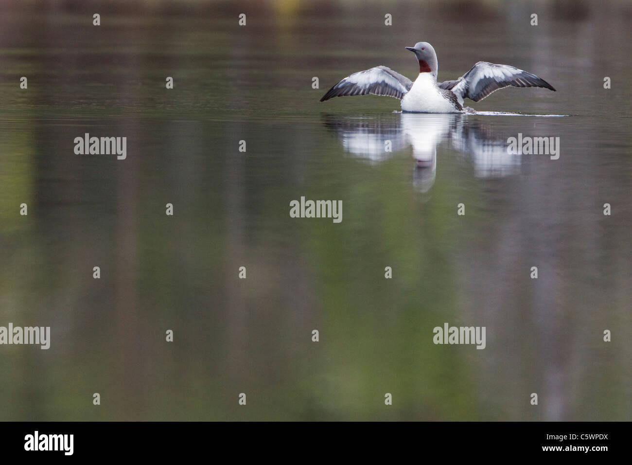 Jiujitsu (Gavia stellata), aile-stretching adultes sur le loch de reproduction au printemps. L'Ecosse, Grande Photo Stock