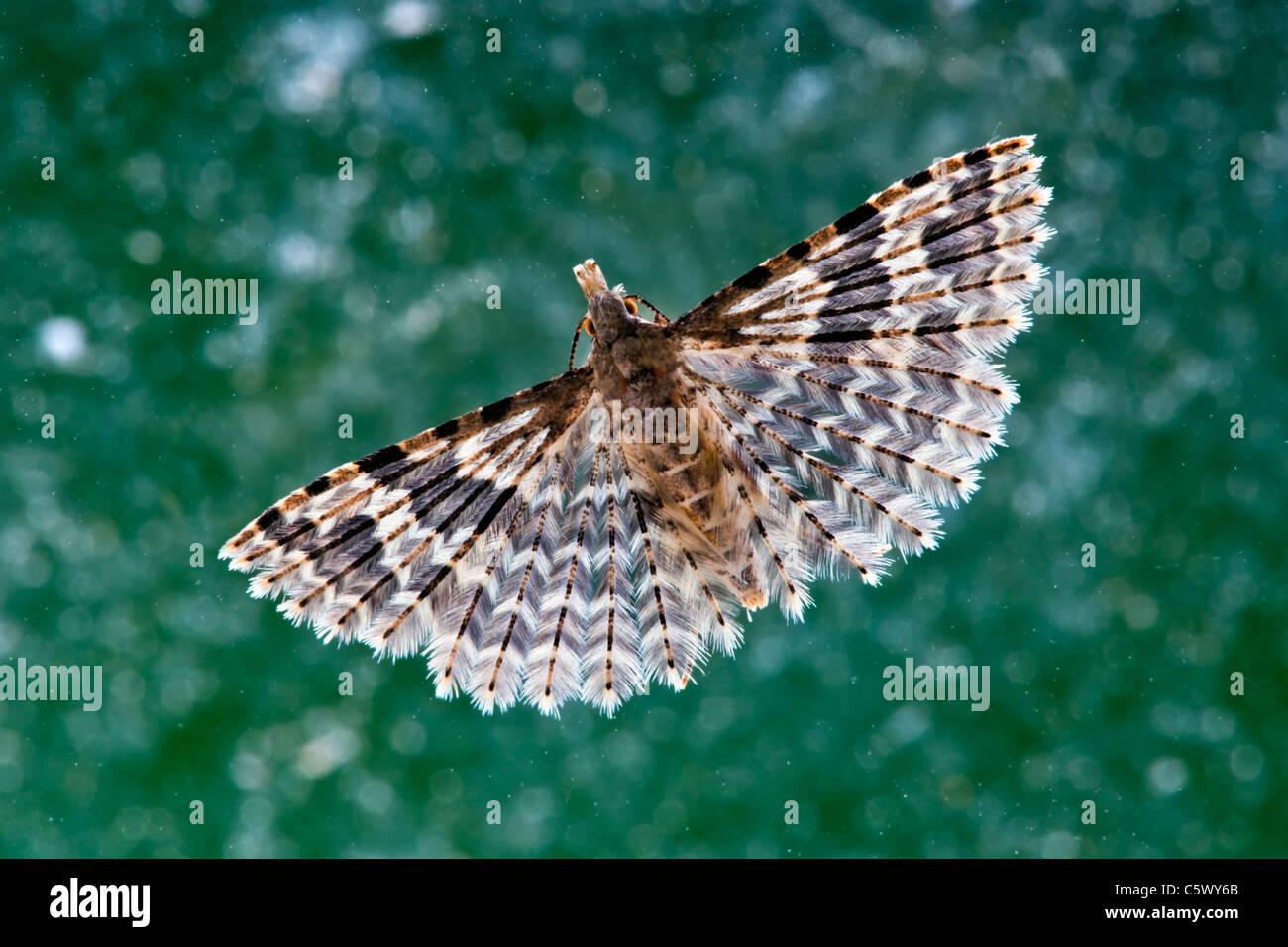De nombreux papillons plumes reposant sur une fenêtre Photo Stock
