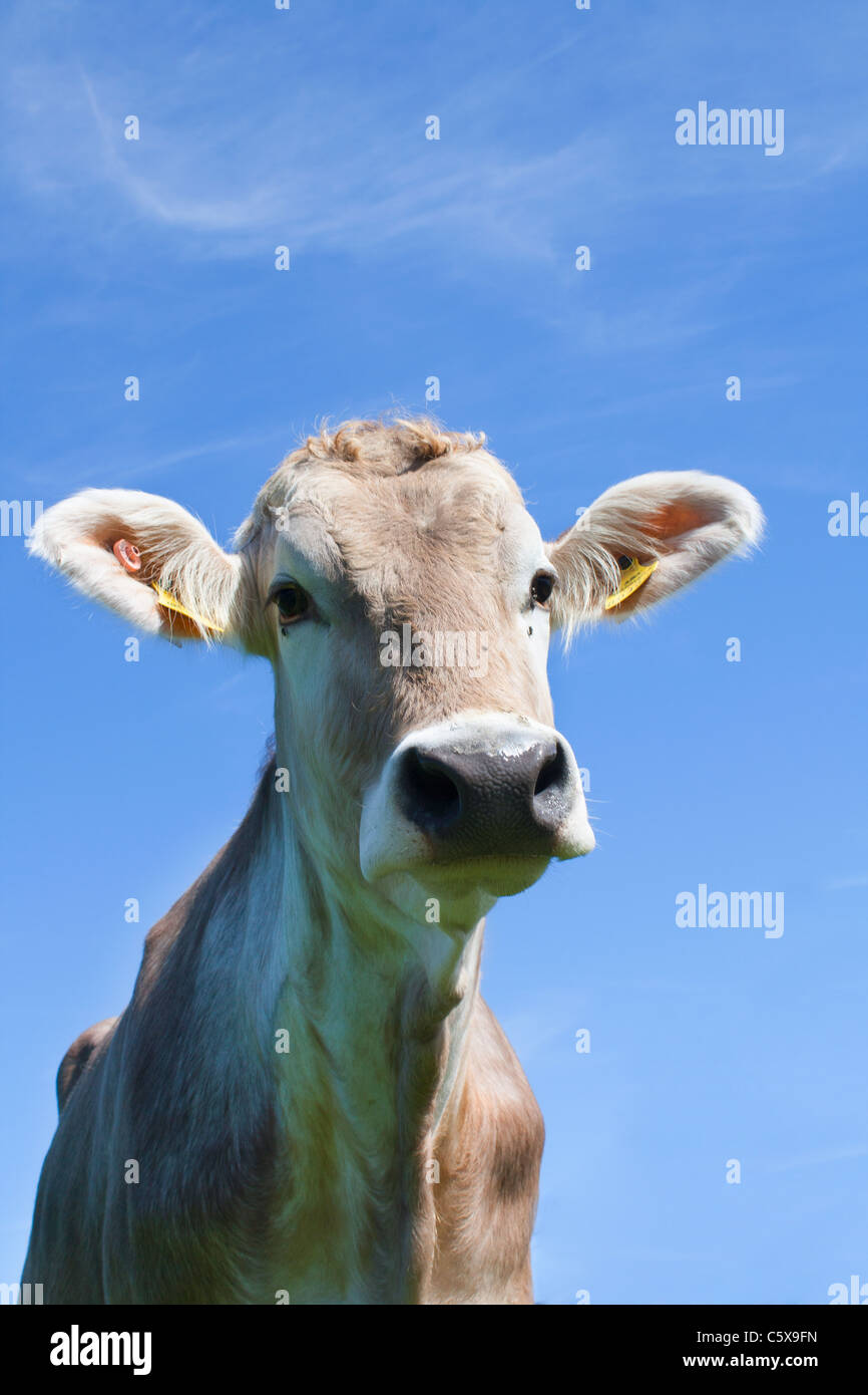 L'Autriche, Mondsee, Cow looking at camera avec fond bleu, Close up Photo Stock