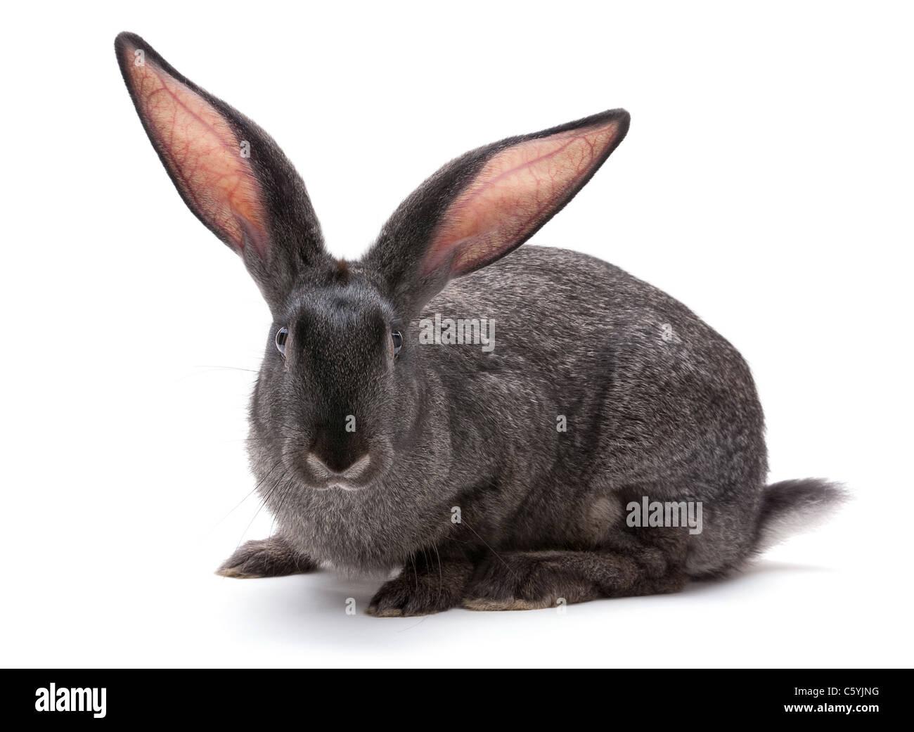 Gros plan d'animaux d'élevage de lapin sur fond blanc Photo Stock