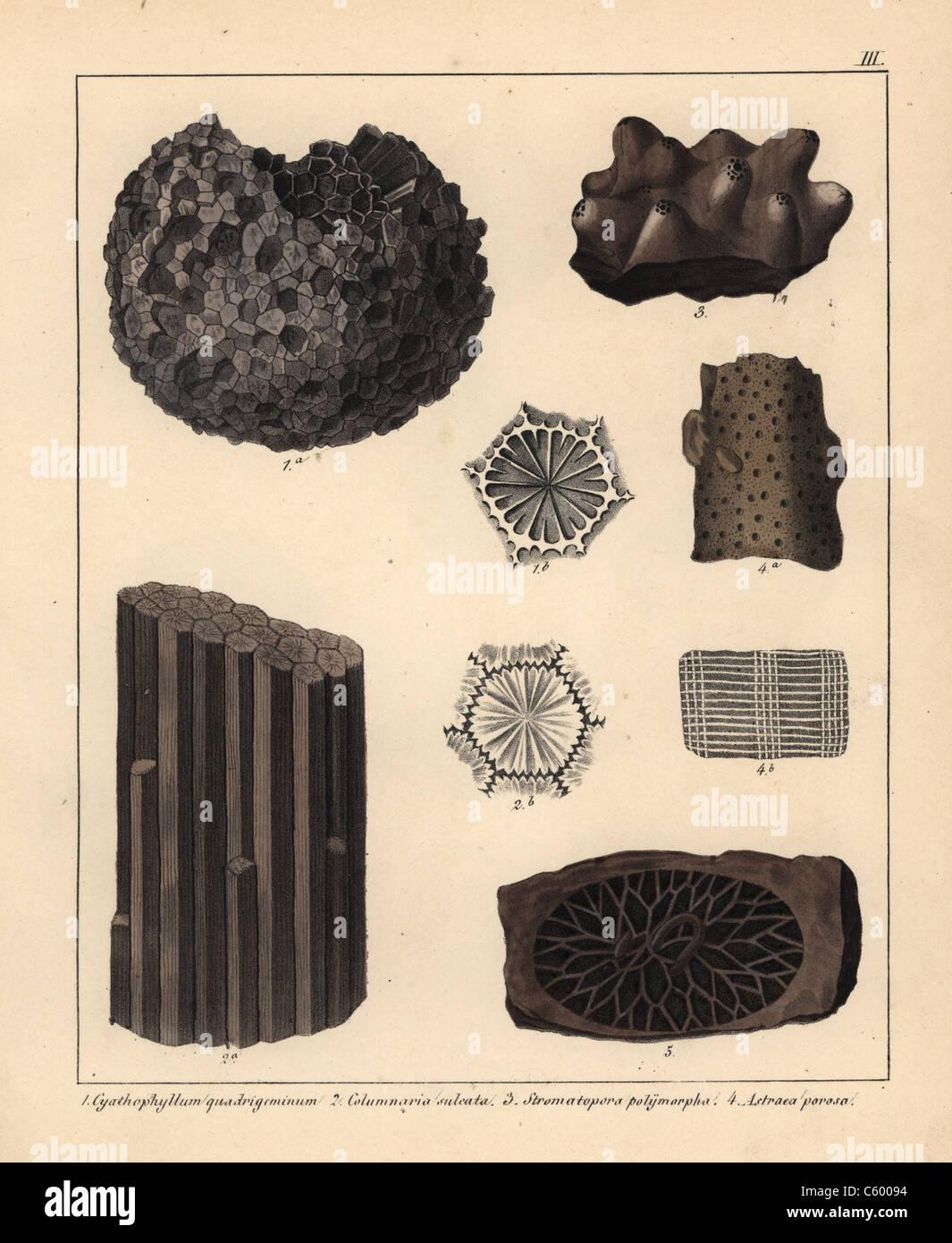 Des fossiles de coraux d'extinction Photo Stock