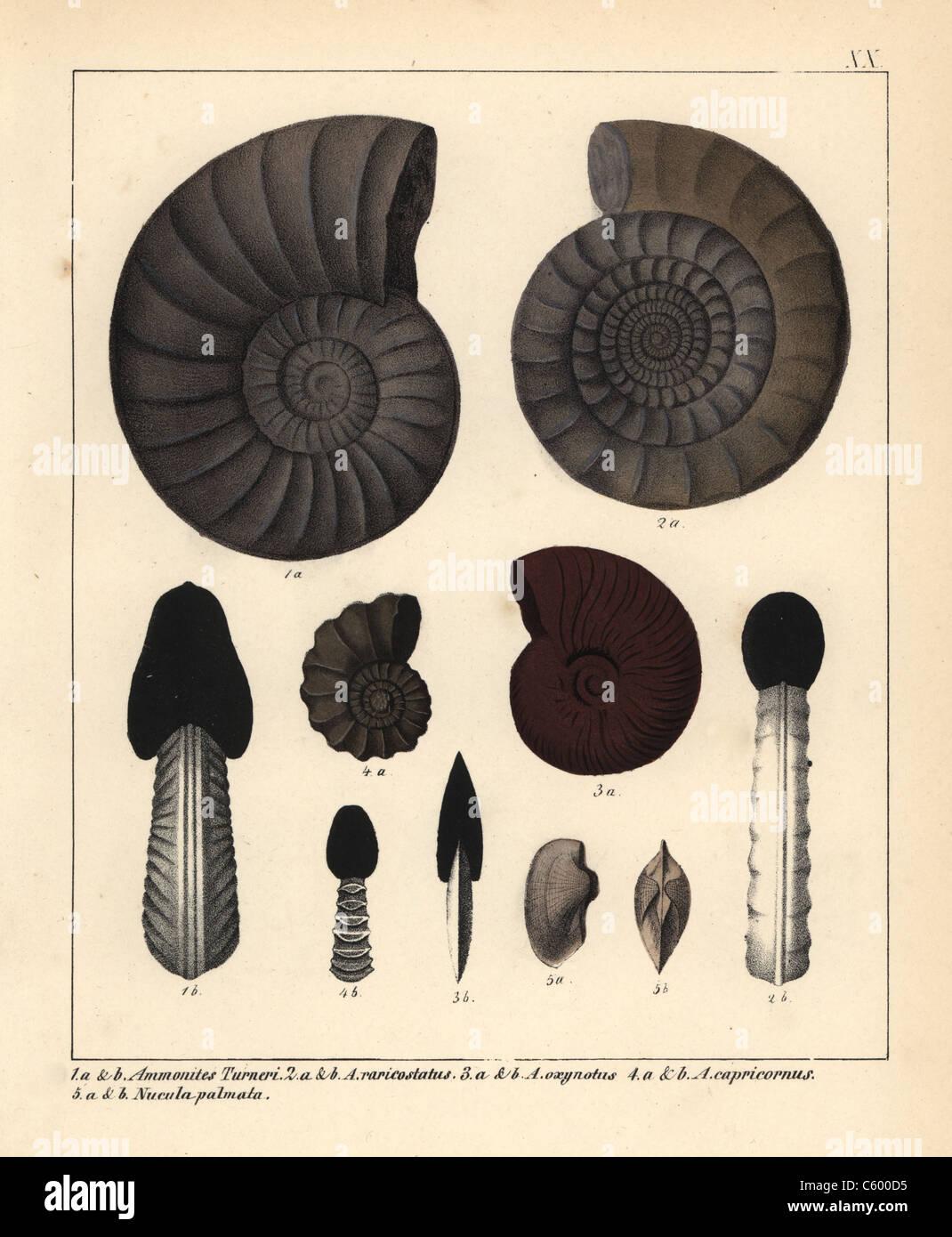 Les fossiles de céphalopodes éteints Photo Stock