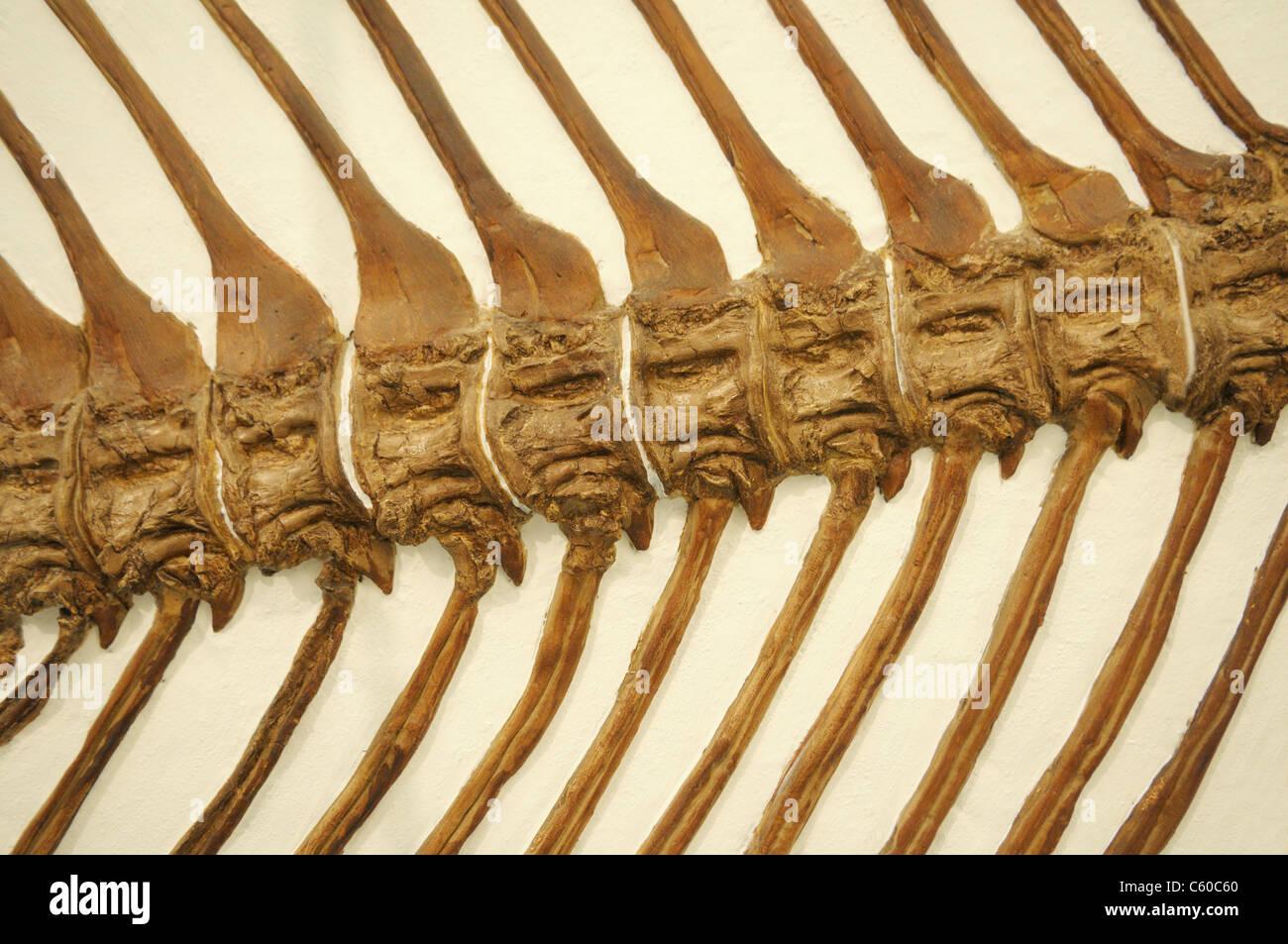 Épine dorsale d'un fossile de poisson à nageoires à rayons, Xiphactinus audax, à partir Photo Stock
