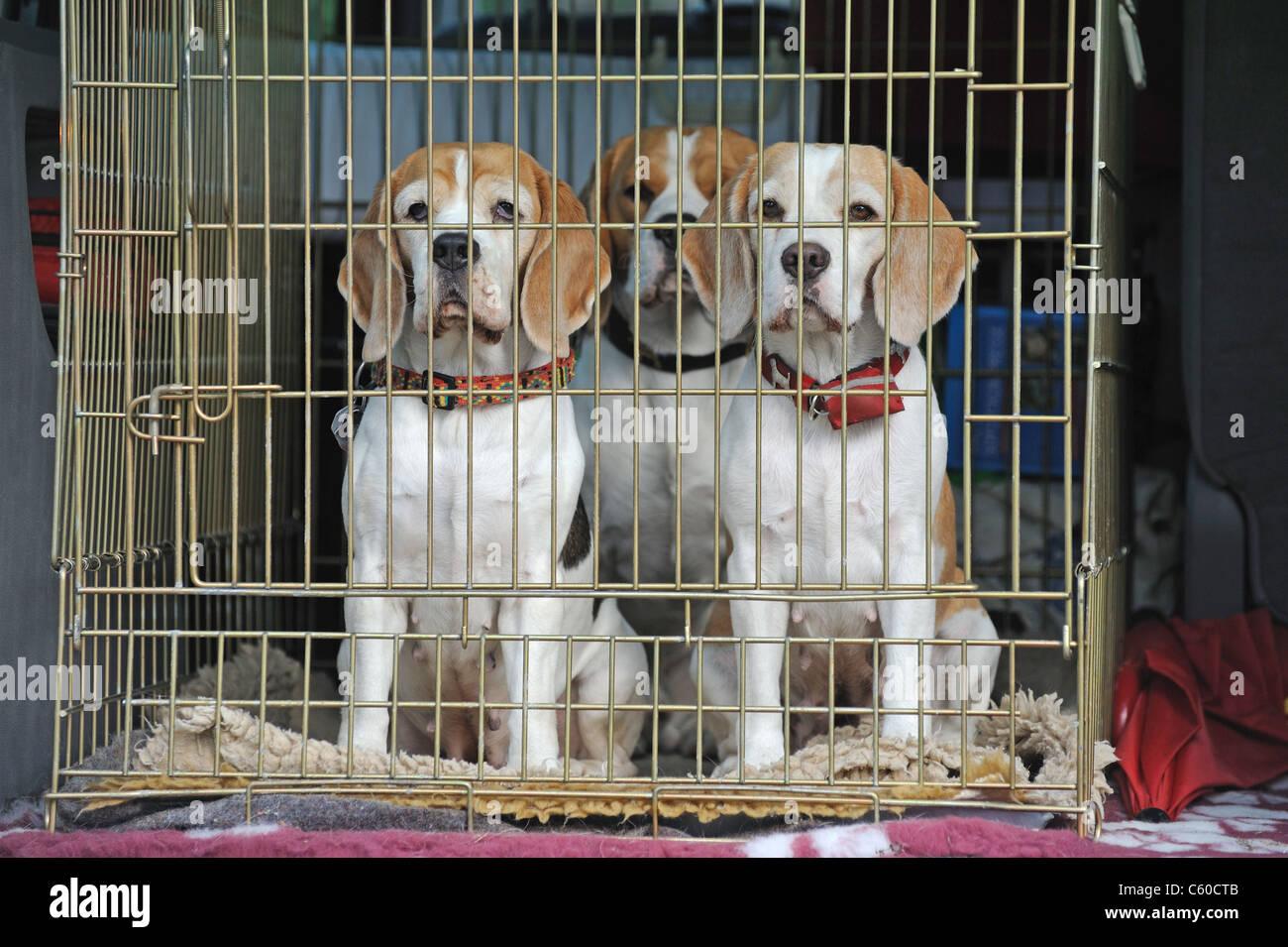 Beagle (Canis lupus familiaris), trois personnes dans une cage de transport dans une voiture. Photo Stock