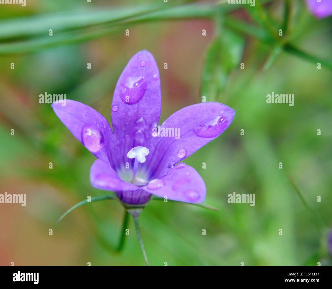 Gros plan de la tête de fleur violet vert accueil carte sympathie été macro close up Photo Stock