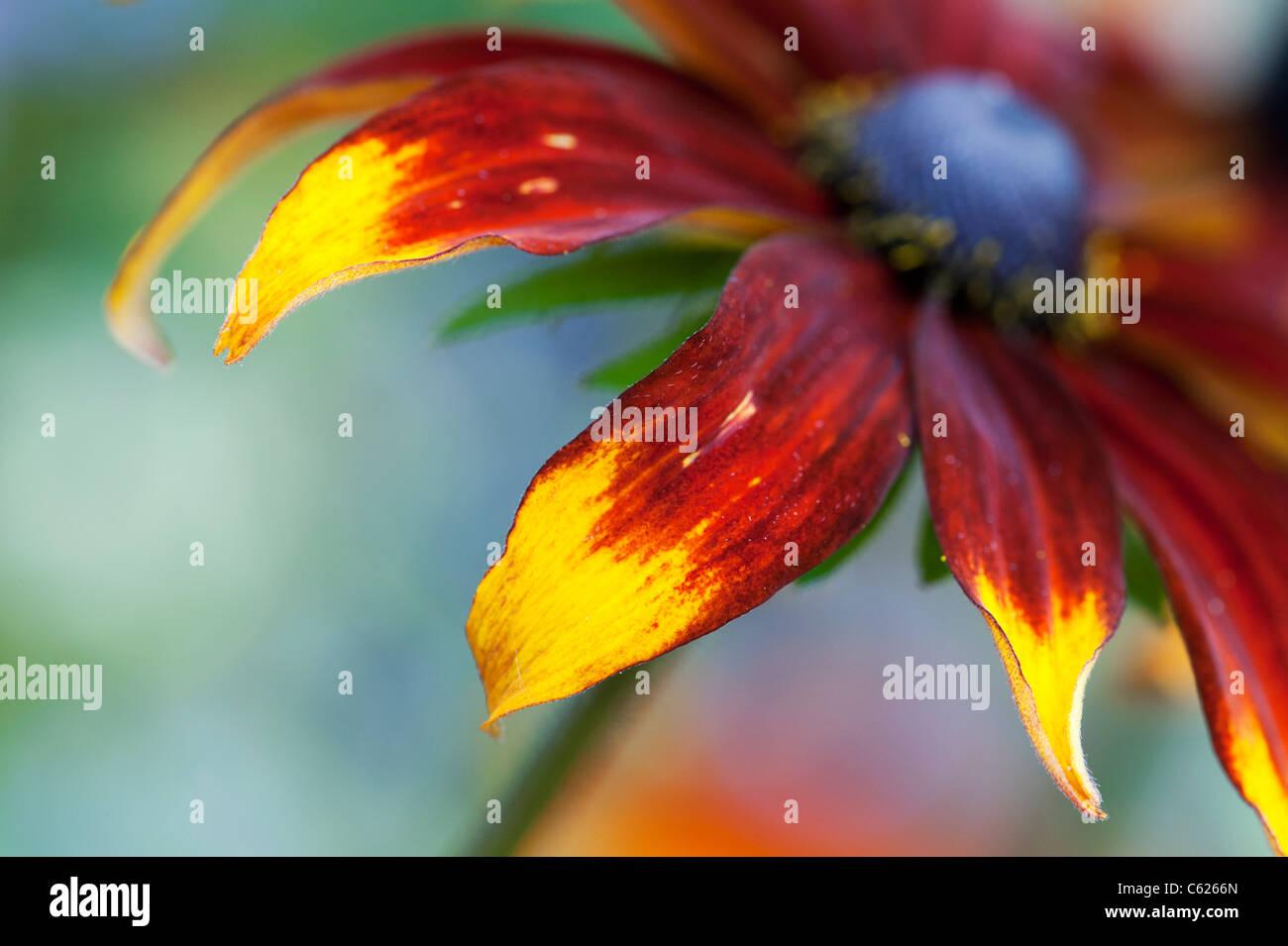 Rudbeckia hirta Moreno . Black-eyed Susan Moreno coneflower abstract Photo Stock