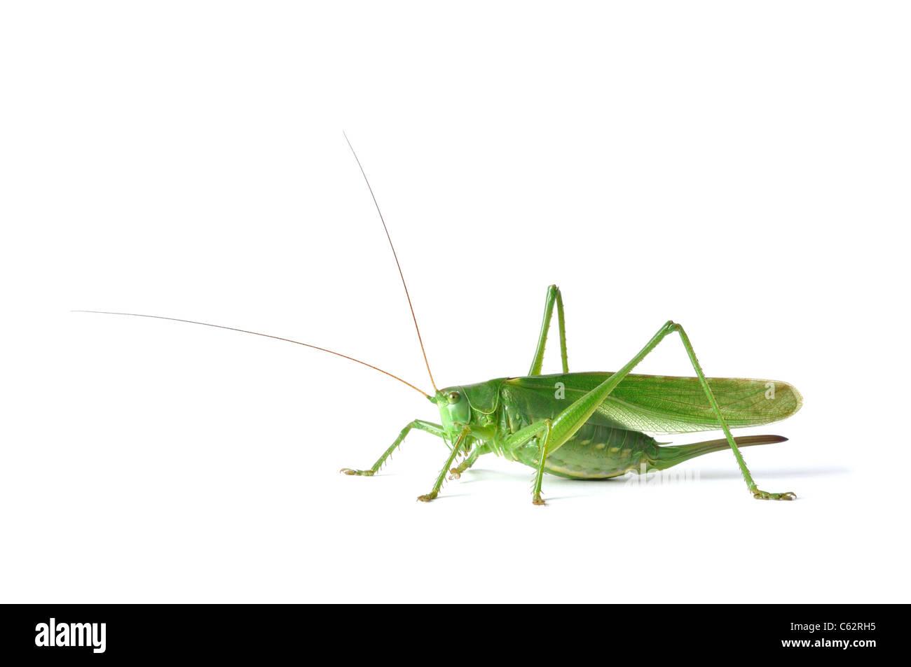 Grasshopper Photo Stock