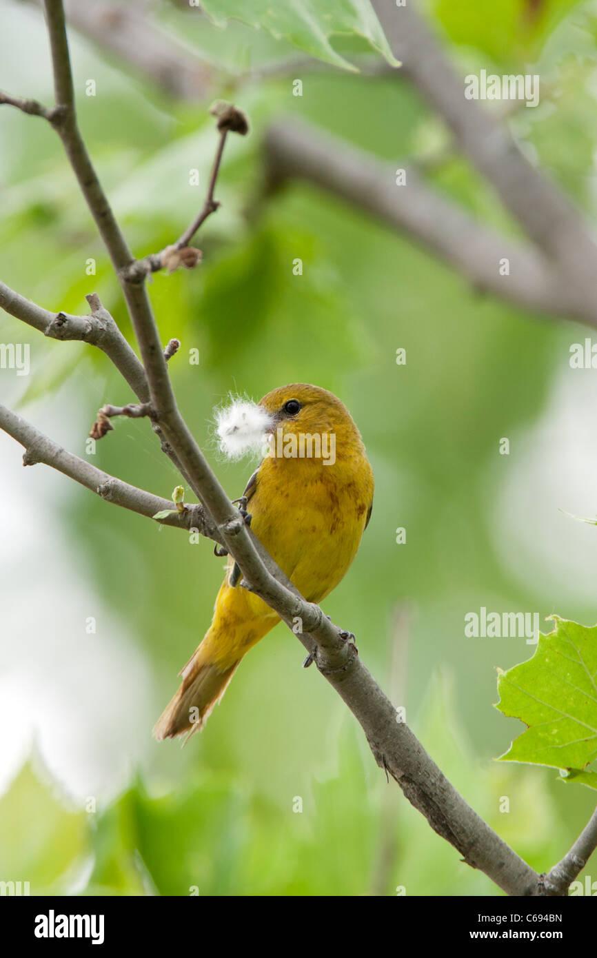 Oriole des vergers femelle avec perchoirs nid vertical - Matériel Photo Stock