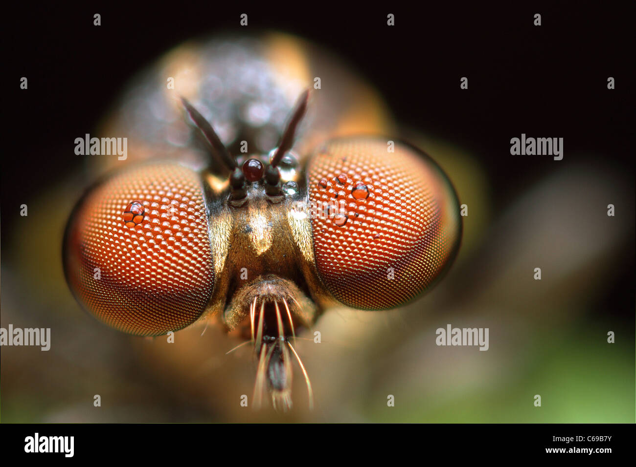 Robber Fly, Holcocephala fusca Photo Stock