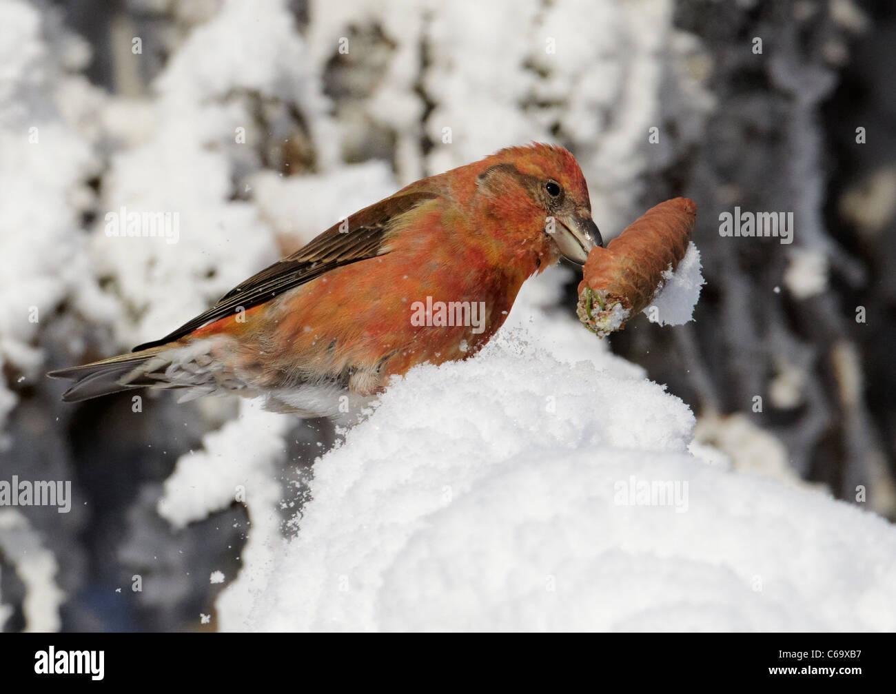 Bec-croisé des sapins, commune (Loxia curvirostra). Homme de manger les graines des cônes de l'épinette. Photo Stock