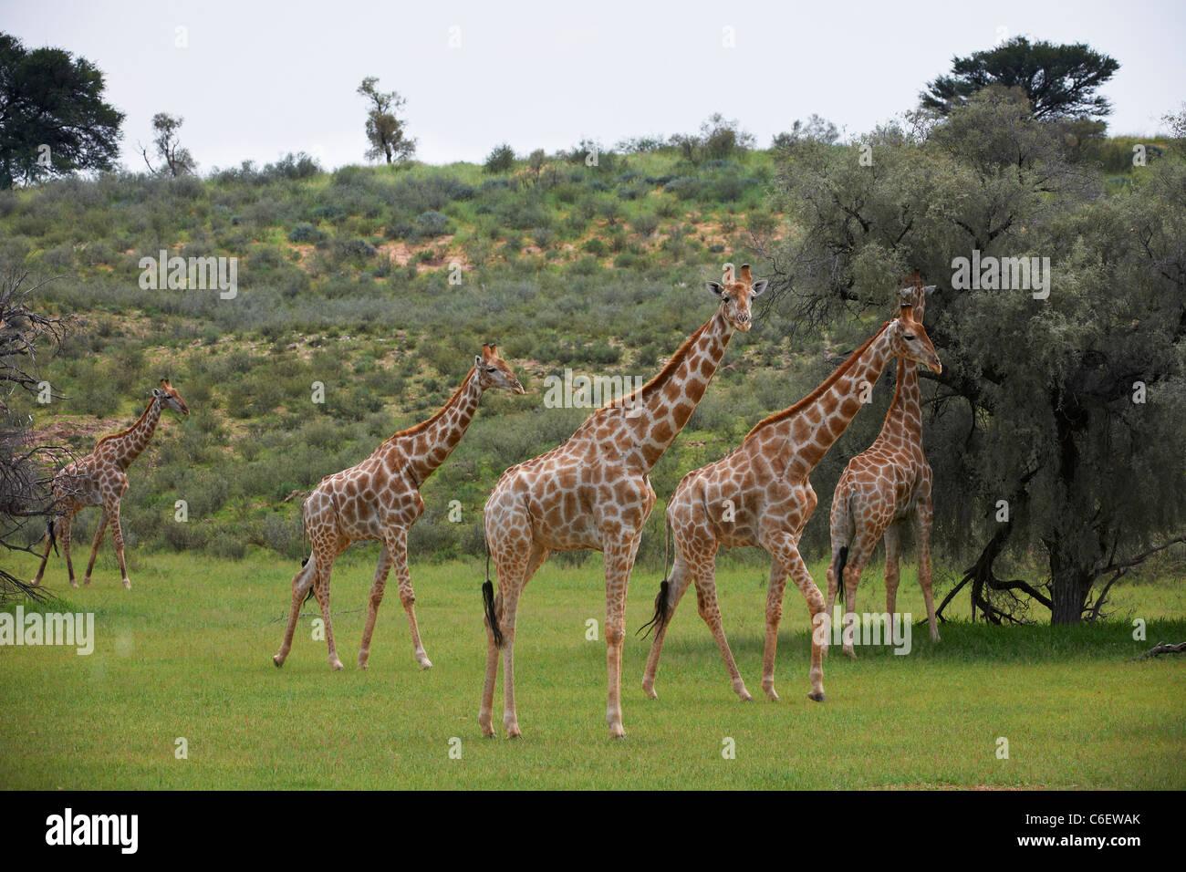 Girafe, Giraffa camelopardalis, Kgalagadi Transfrontier Park, Afrique du Sud, l'Afrique Photo Stock