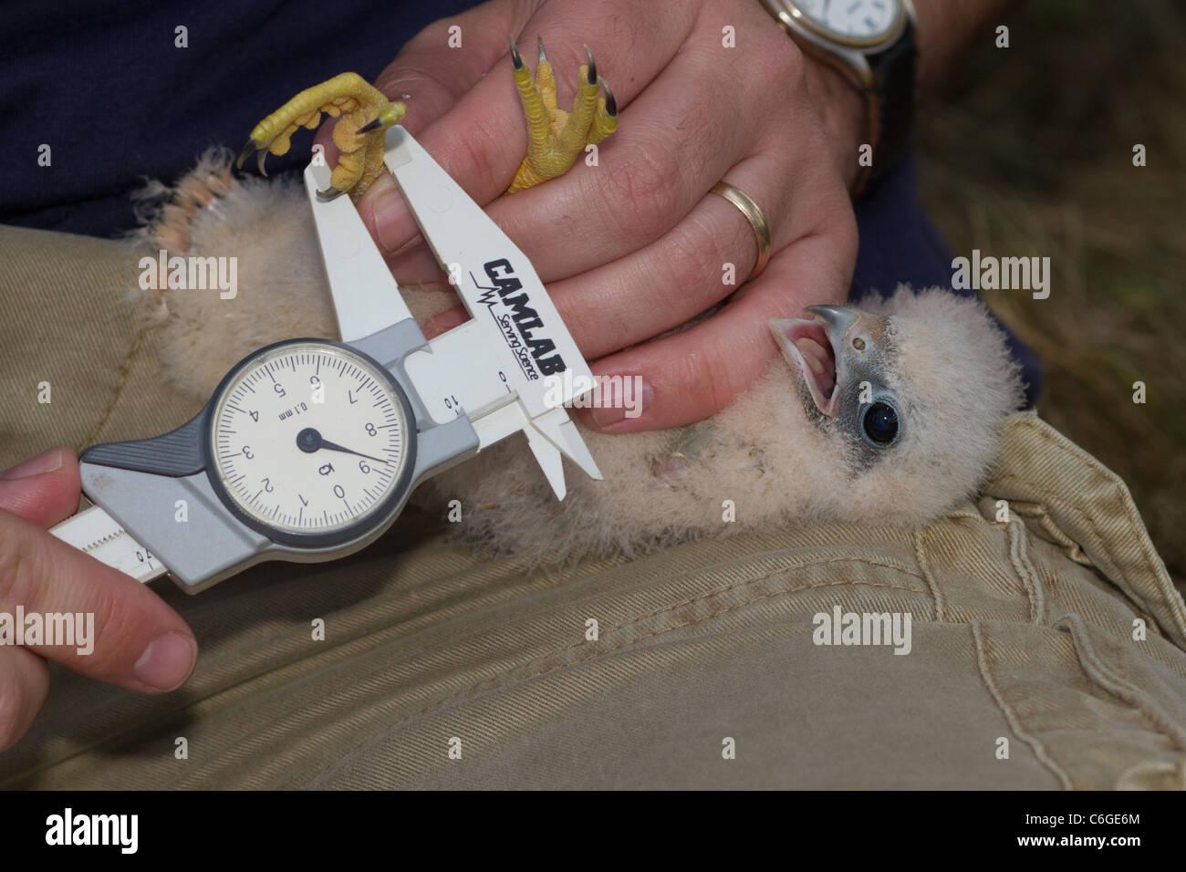 Close-up of young Hobby (Falco subbuteo) dans la main, Cambridgeshire, Angleterre Photo Stock