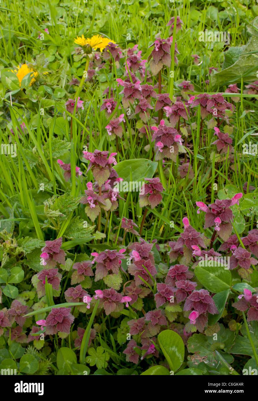 Red Dead-nettle, Lamium purpureum en fleur. Mauvaises herbes généralisée. Banque D'Images