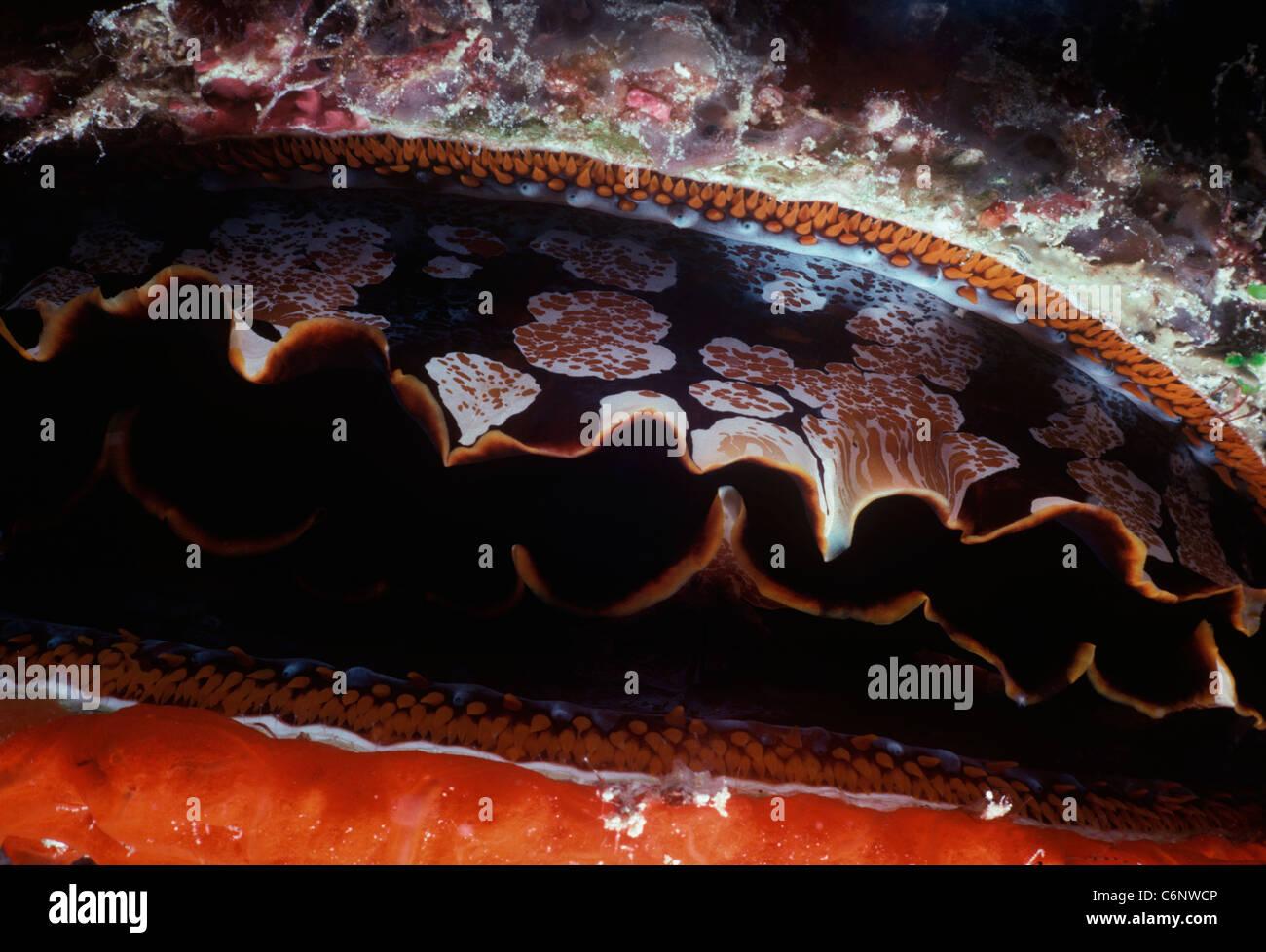 Huître épineuse (Spondylus varius) (les) manteau de nuit. L'île de Sipadan, Bornéo - Mer Photo Stock