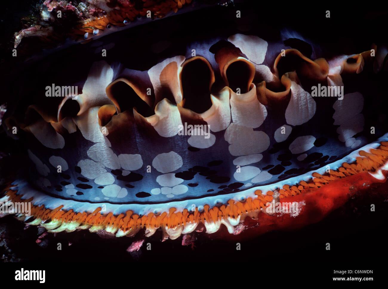 Manteau de l'huître épineuse (Spondylus varius) les la nuit. L'île de Sipadan, Bornéo Photo Stock