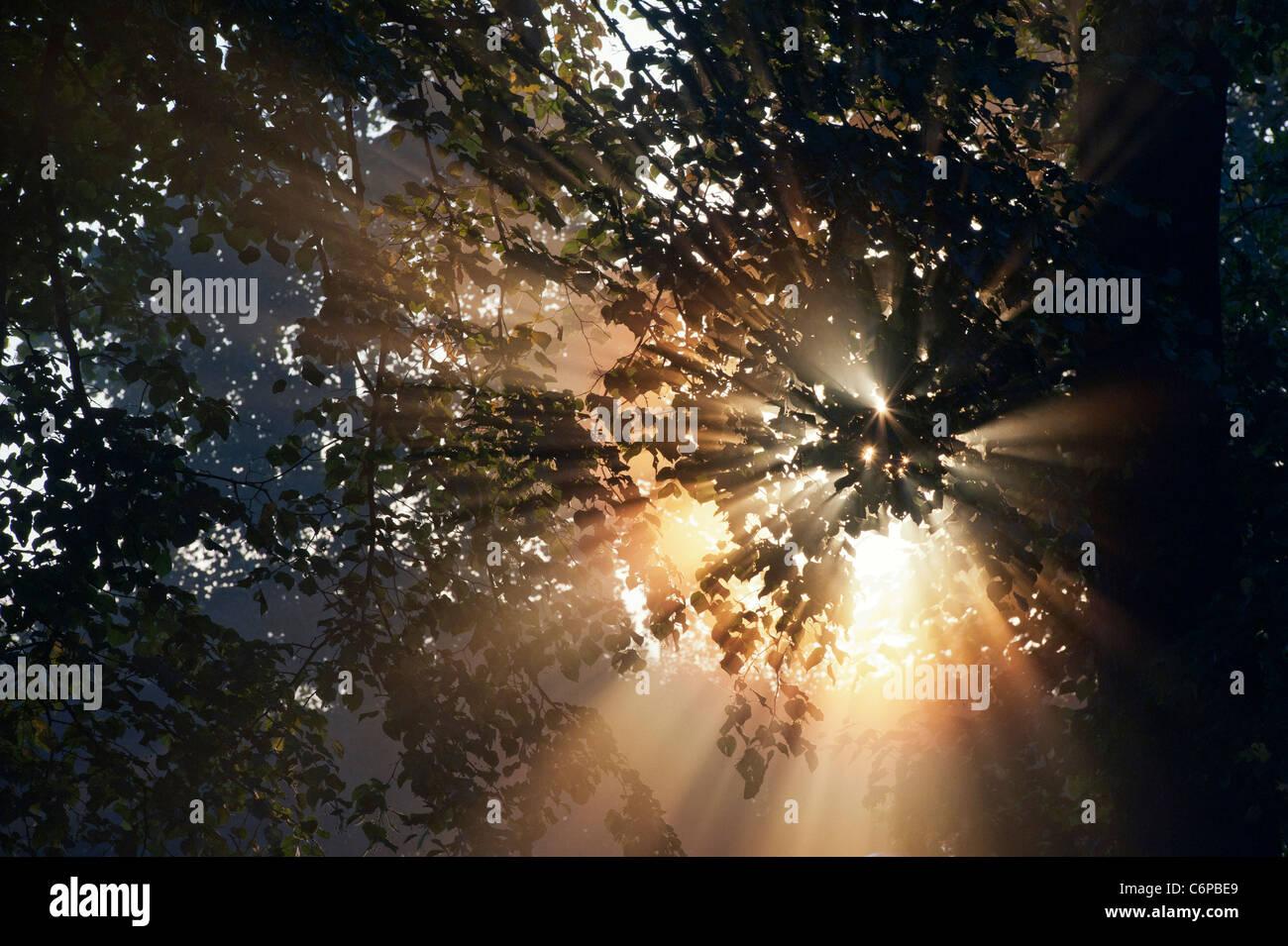 Les rayons du soleil à travers Horse Chestnut Tree tôt le matin dans la campagne anglaise misty Photo Stock