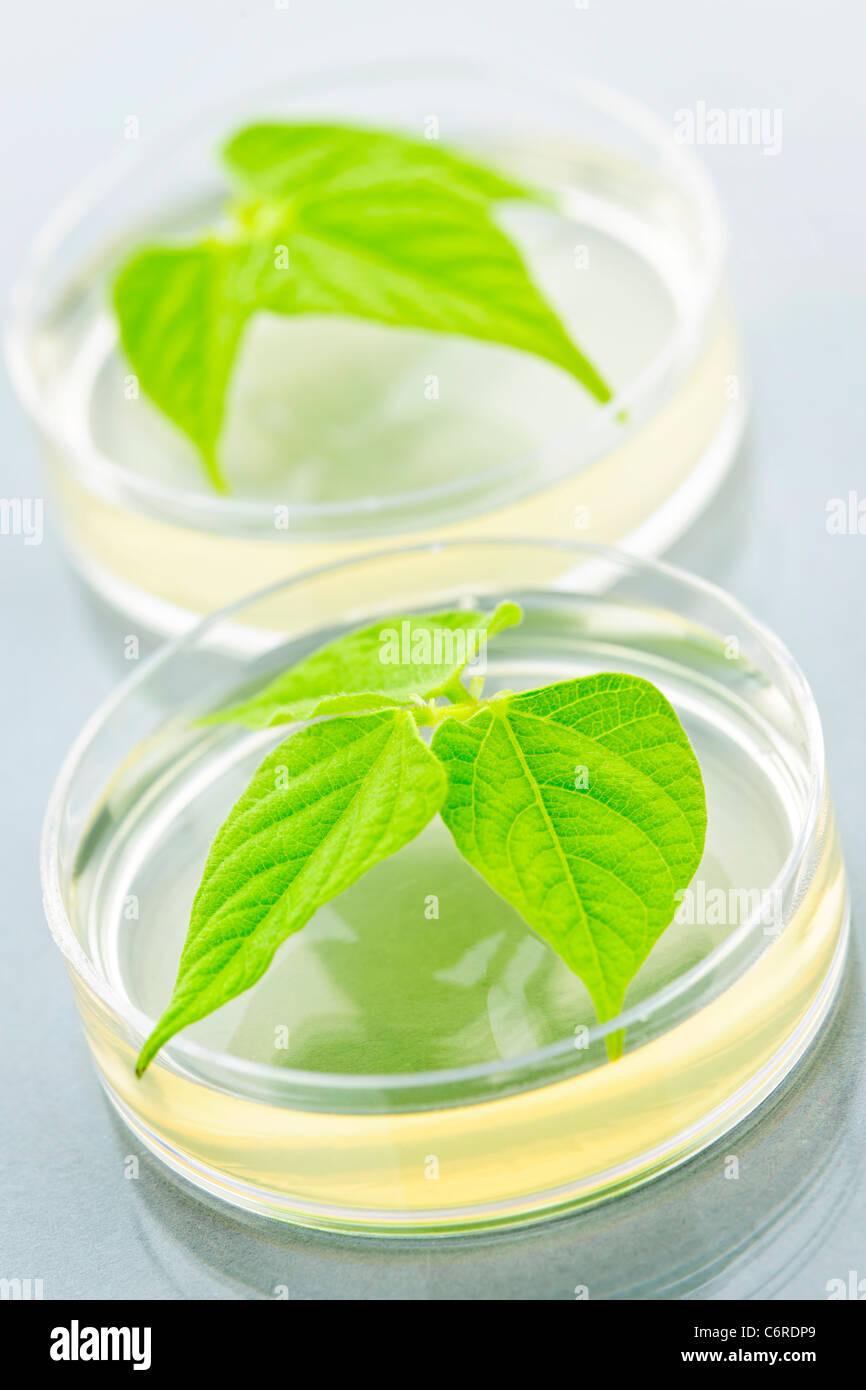 Plantes génétiquement modifiées à l'essai dans des boîtes de Petri Photo Stock