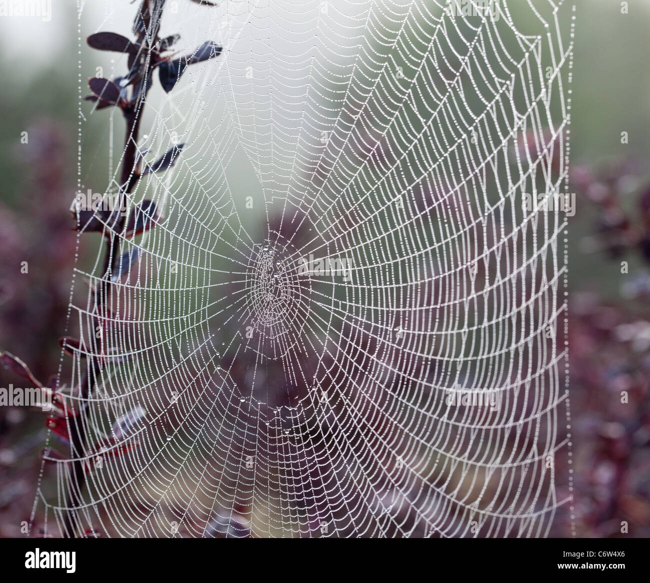 Gouttes de rosée sur les brins d'une araignée Photo Stock