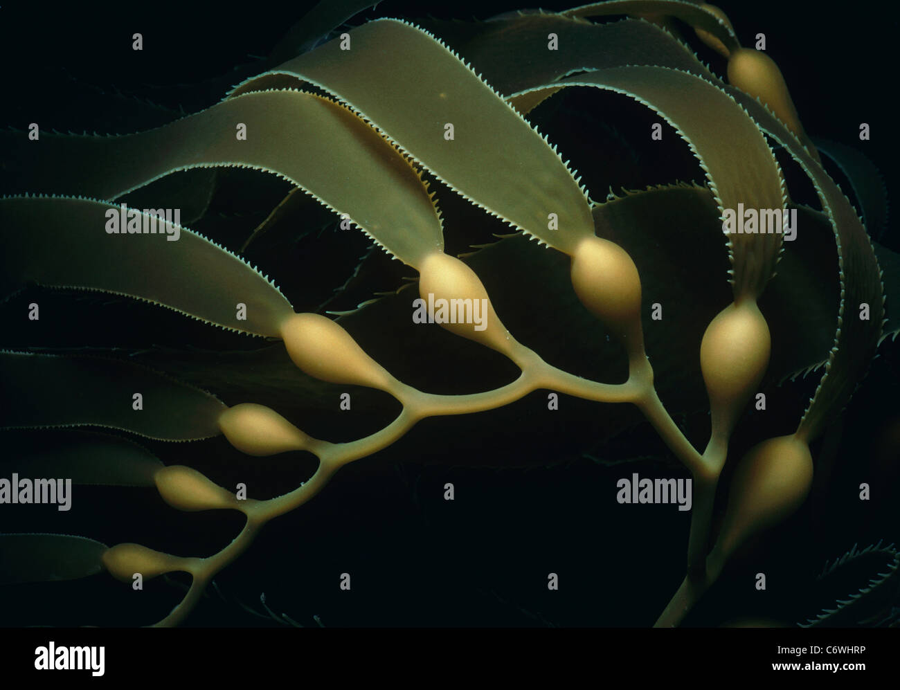 Les frondes, lames, et les tiges de varech géant (Macrocystis pyrifera). Carte des îles, en Californie, Photo Stock