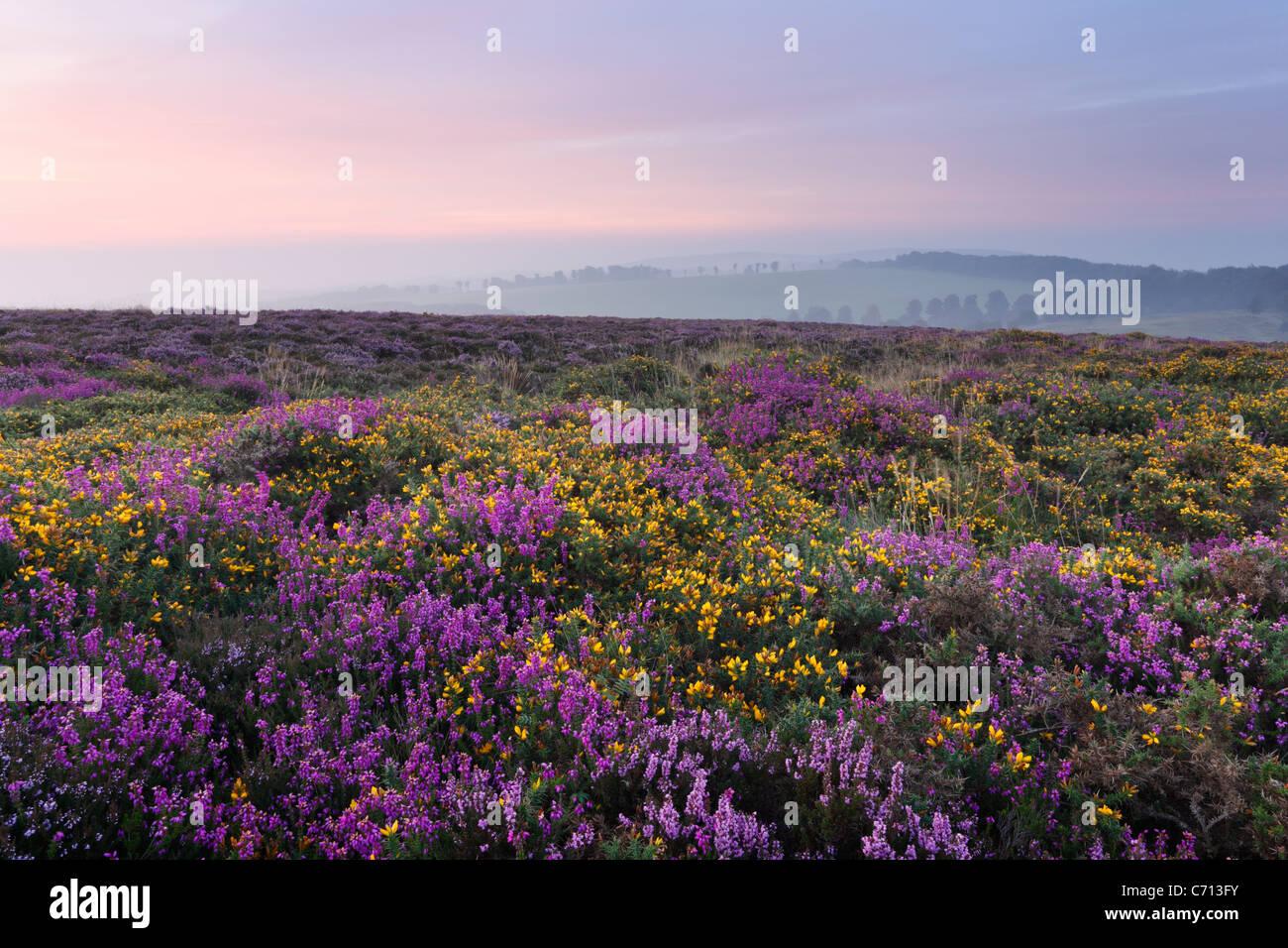 La bruyère et l'ajonc sur les collines de Quantock en septembre. Le Somerset. L'Angleterre. UK. Photo Stock