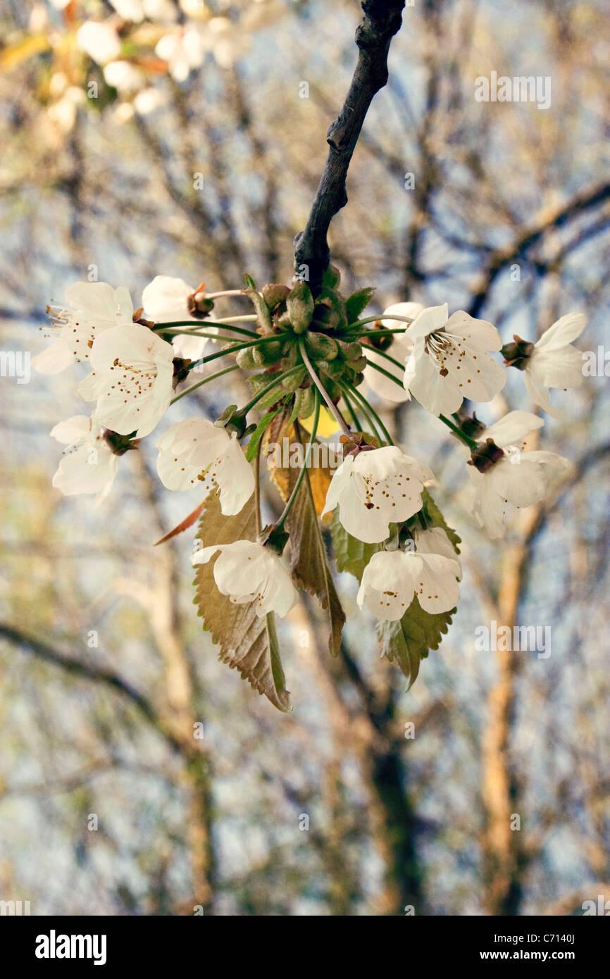 Prunus Cerisier Blanc Fleur Fleur Sur L Arbre De La Direction