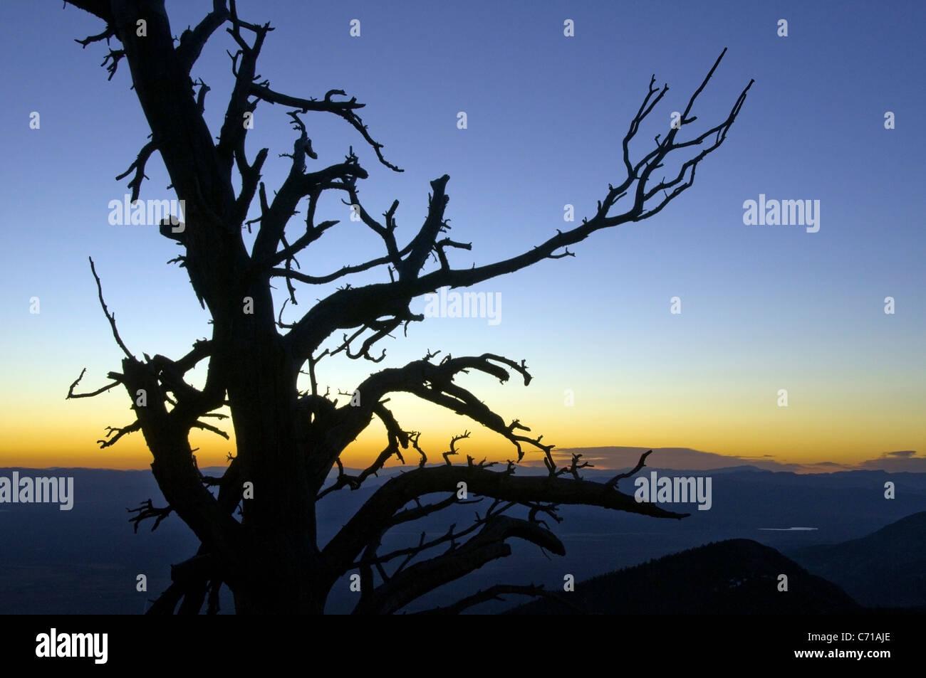 La silhouette d'un arbre au lever du soleil dans le Parc National du Grand Bassin, NV. Photo Stock