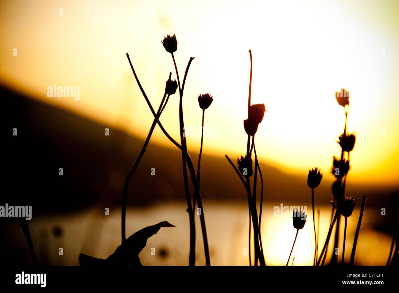 Fleurs séchées silhouetté au lever du soleil. Banque D'Images