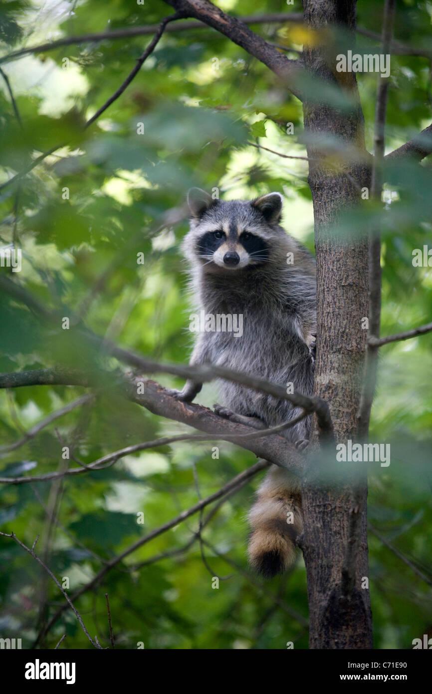 Le raton laveur dans un arbre Photo Stock