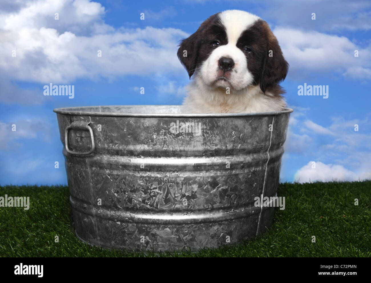 Adorable Saint Bernard Puppy Portrait Photo Stock