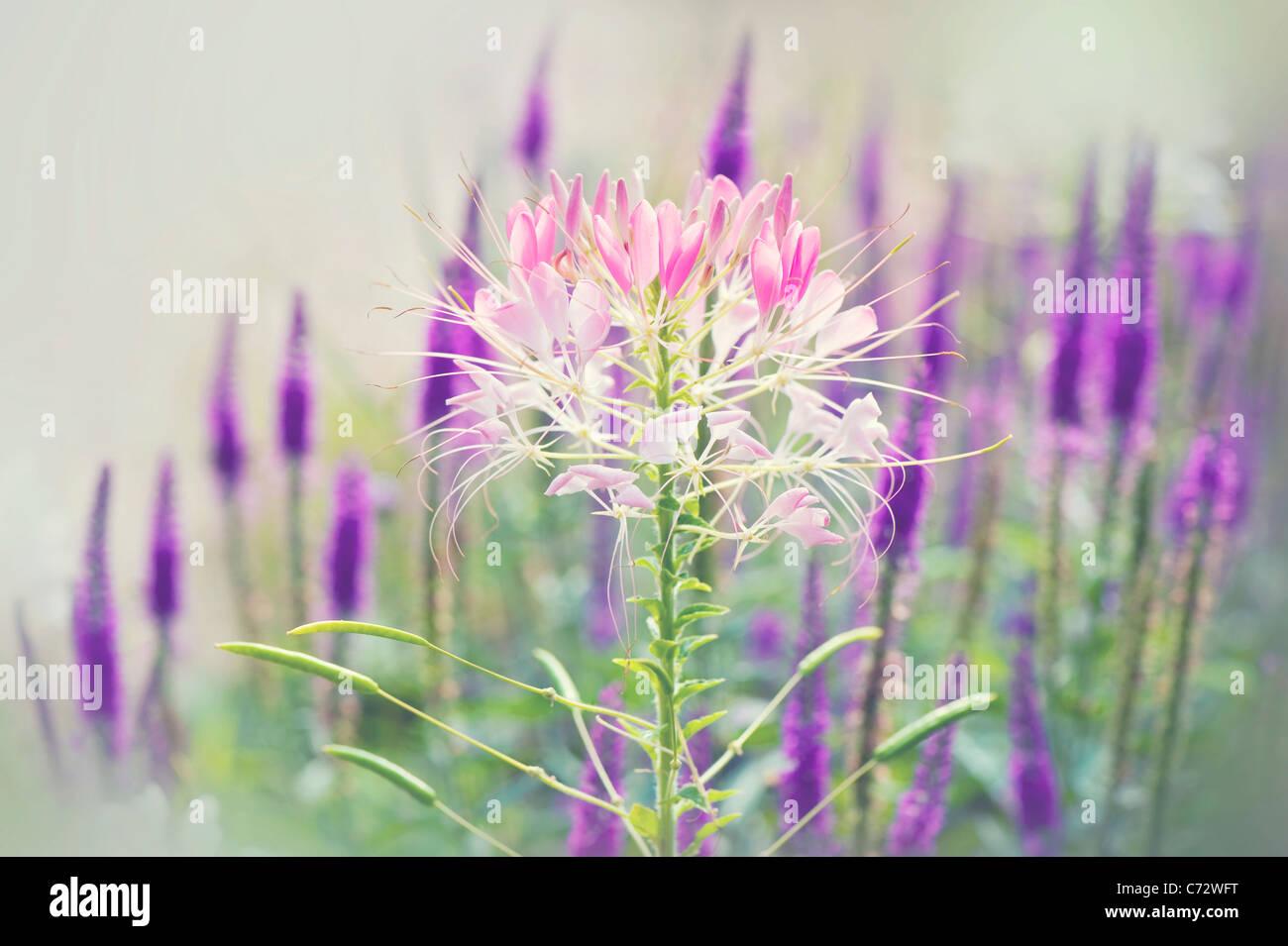 """Araignées fleur-plante Cleomaceae dans /""""violet/"""" 50 graines"""
