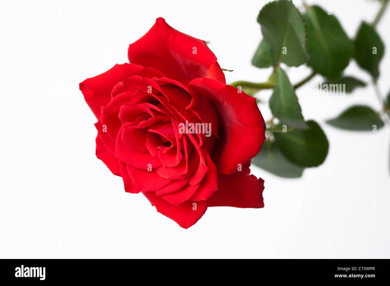 Rose (Rosa sp.), fleur rouge. Studio photo sur un fond blanc. Photo Stock