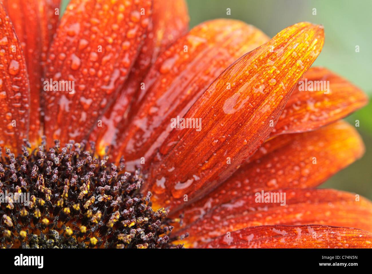 Close up de gouttes de rosée sur une orange tournesol sur un matin d'été Photo Stock