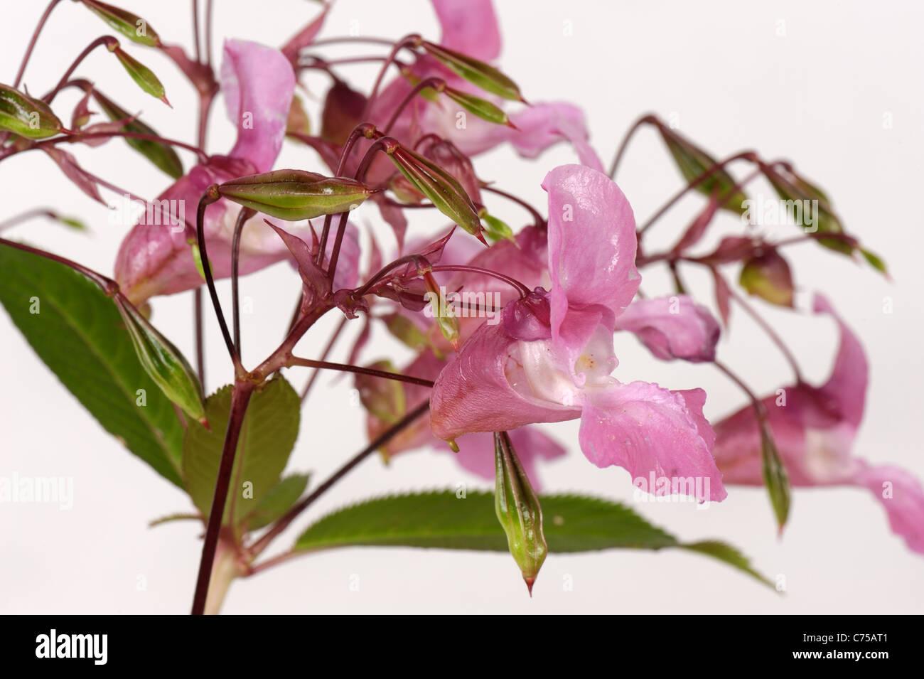 Balsamine de l'Himalaya (Impatiens) gladulifera fleurs et gousses Banque D'Images