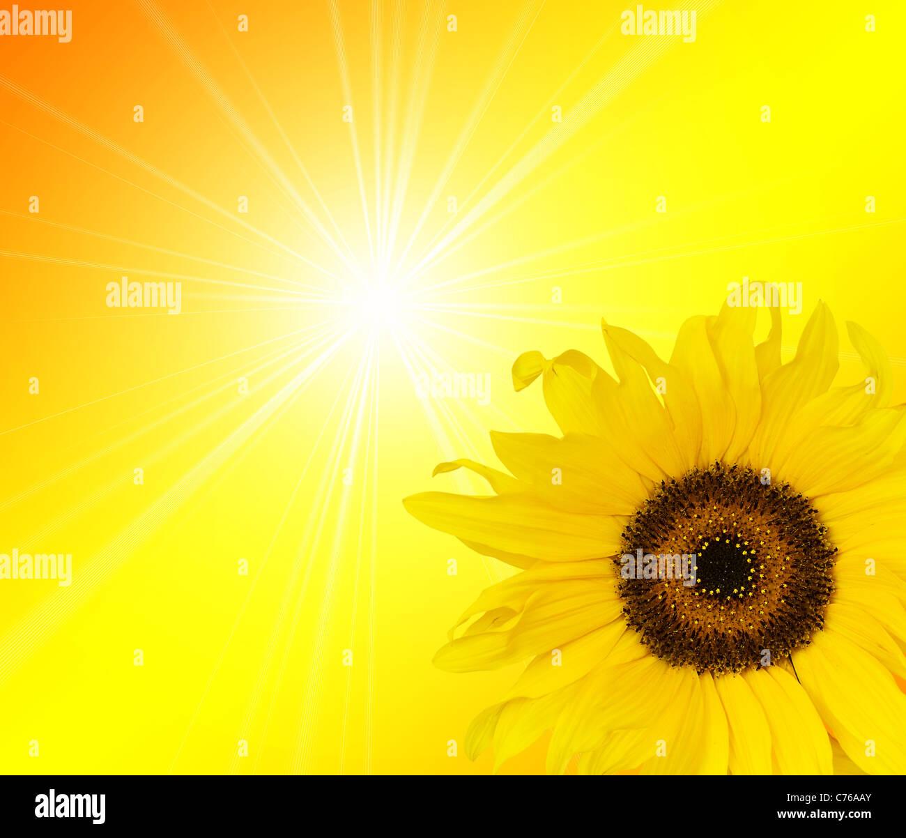 La lumière du soleil tournesol Photo Stock