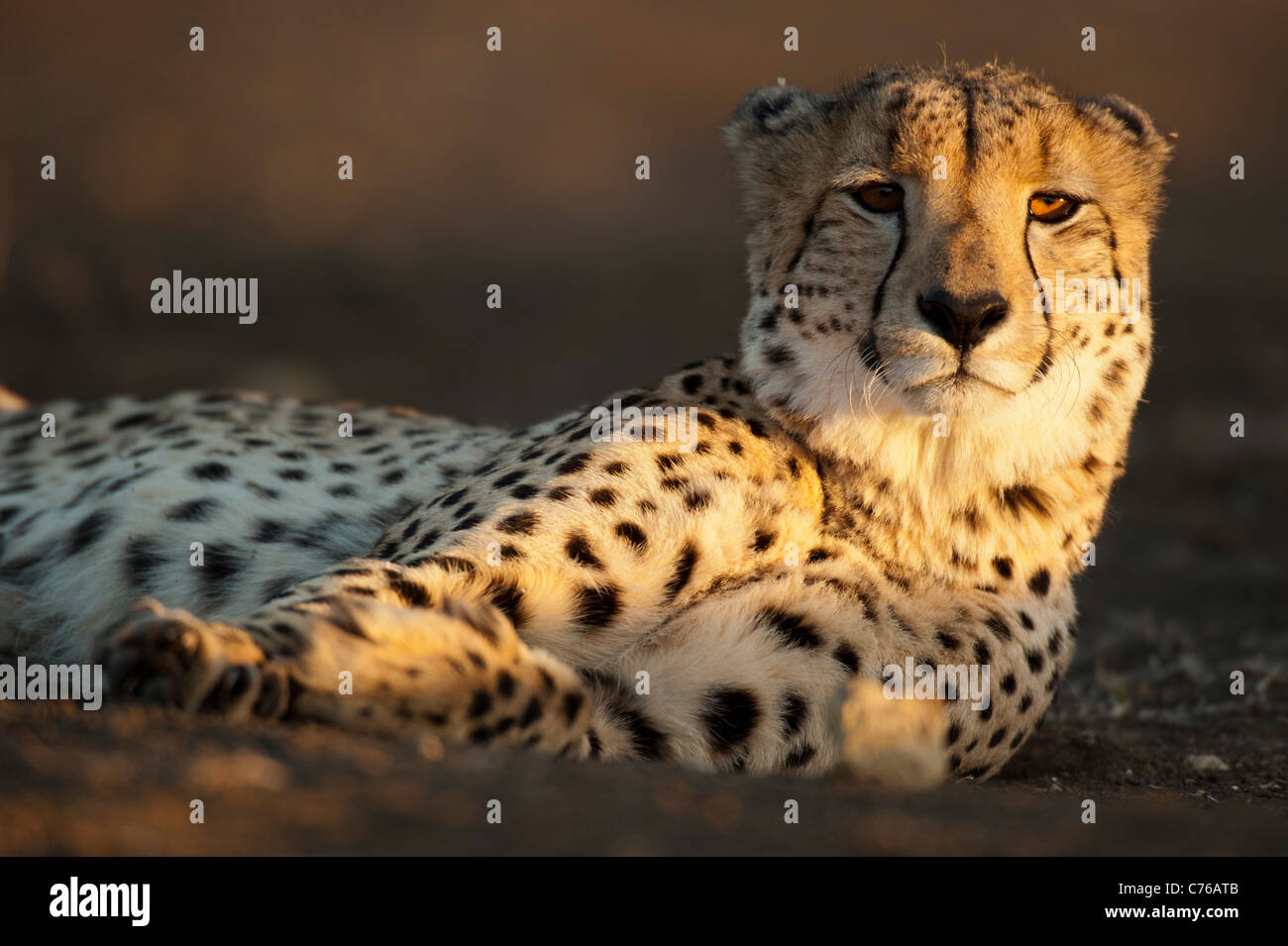 Le Guépard (Acinonyx jubatus), Phinda Game Reserve, Afrique du Sud Photo Stock