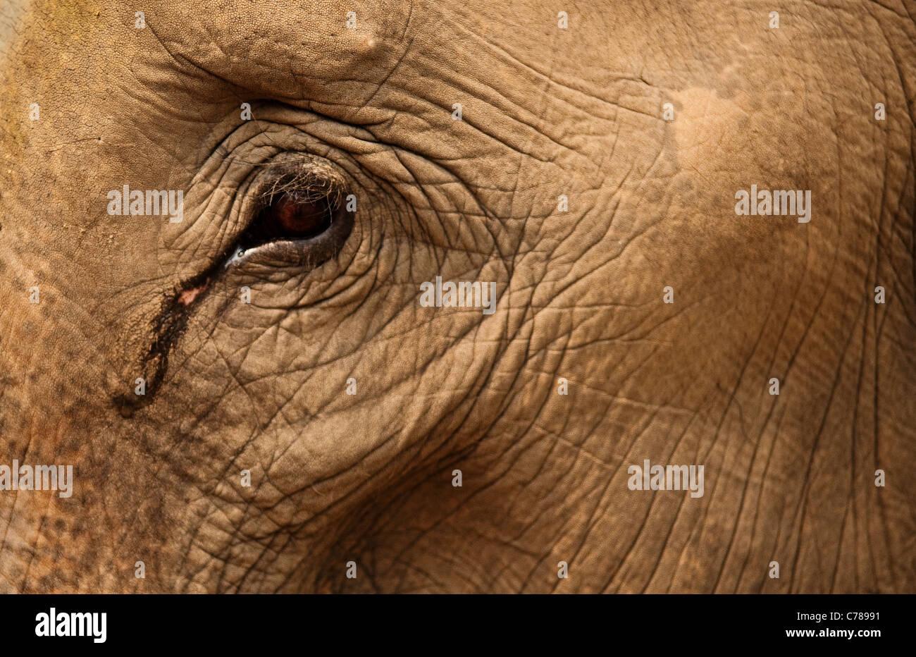 Close-up de l'oeil et de la peau de l'éléphant à ferme des éléphants Patara; Photo Stock