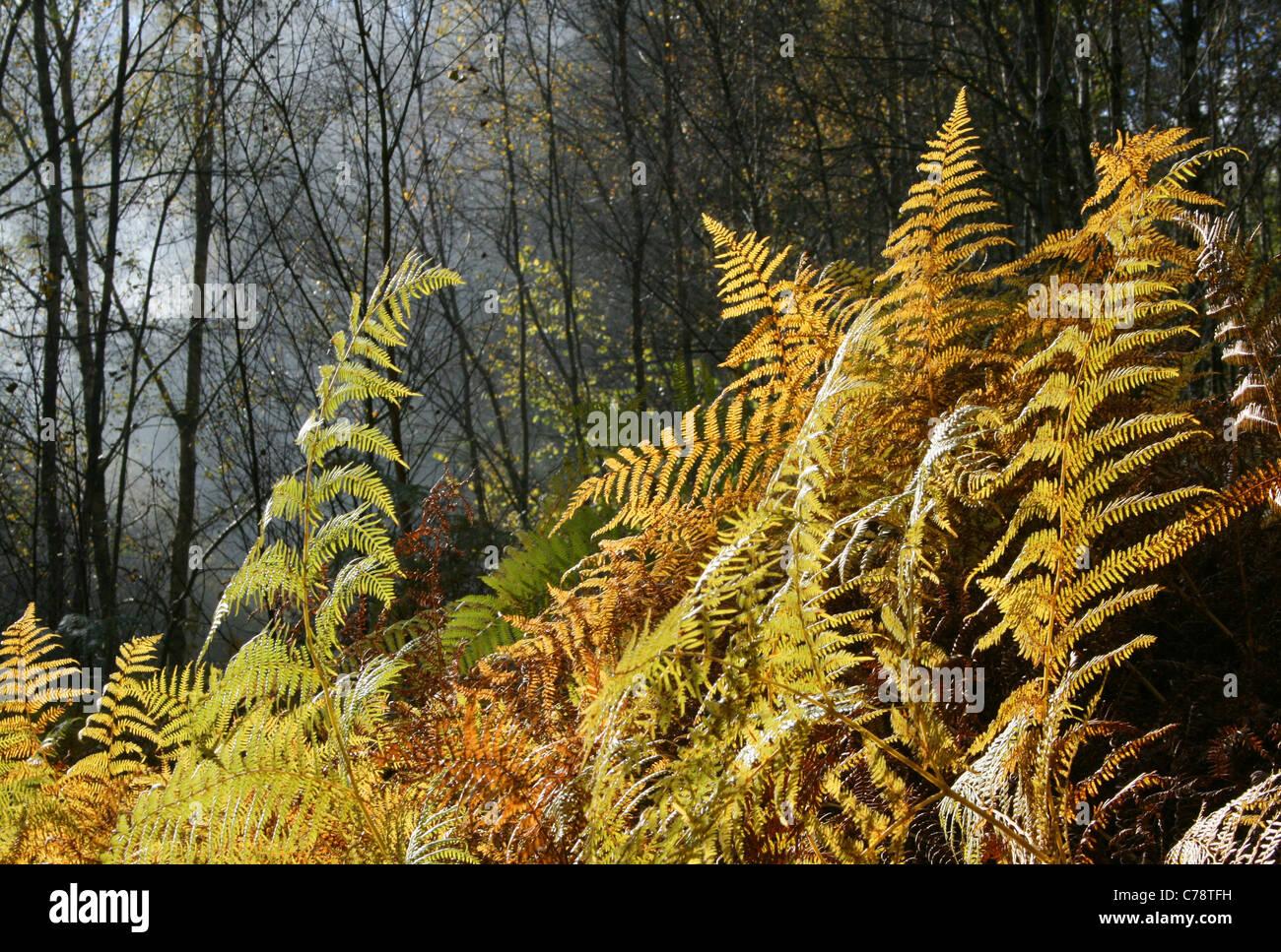 Couleurs d'automne en fougère (Pteridium aquilinum), Bowdown Woods nature reserve, Berkshire. Banque D'Images
