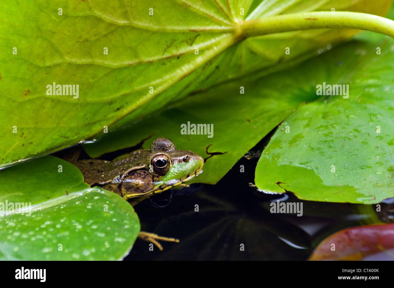 La grenouille verte se cacher au milieu de Lilly Pads en petit étang dans Floyd Comté (Indiana) Banque D'Images
