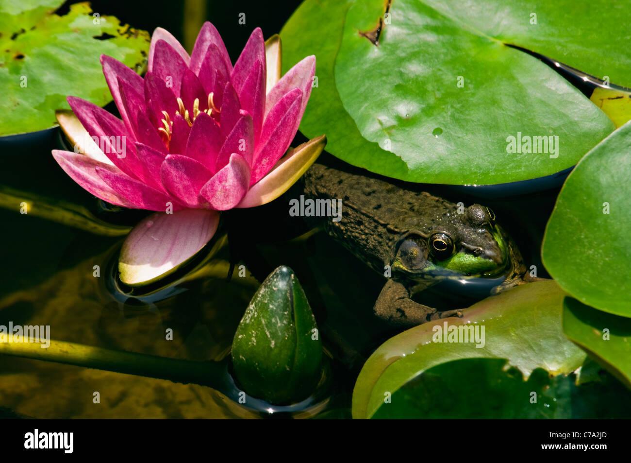 La grenouille verte se cacher au milieu de Lilly et Lilly Pads en petit étang dans Floyd Comté (Indiana) Banque D'Images