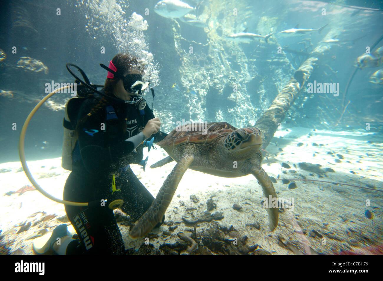 Plongeur avec tortue de mer verte, Reef HQ Aquarium, Townsville, Queensland, Australie Photo Stock
