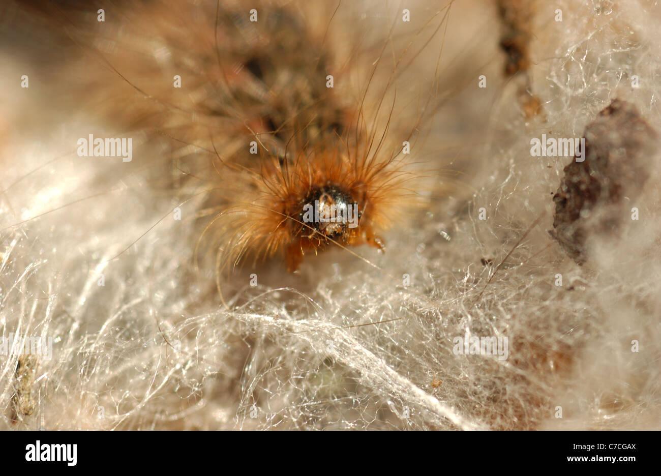 Un Spilosoma caterpillar est sombre et velue. Les poils sont bruns uniformément sur tout le corps. Photo Stock